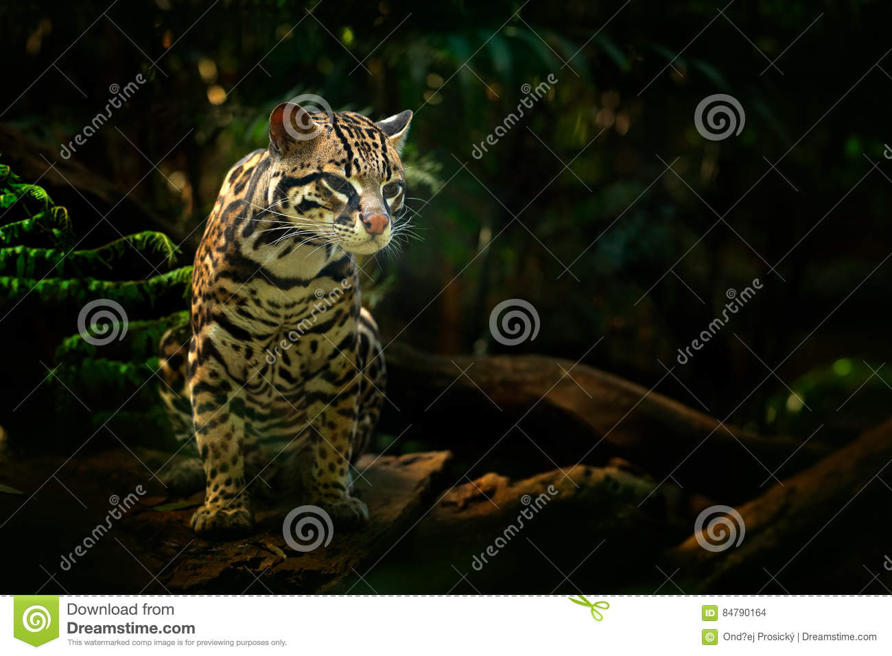 Animais selvagens em Costa Rica Assento margay do gato agradável no ramo no retrato tropical costarican do detalhe da floresta do