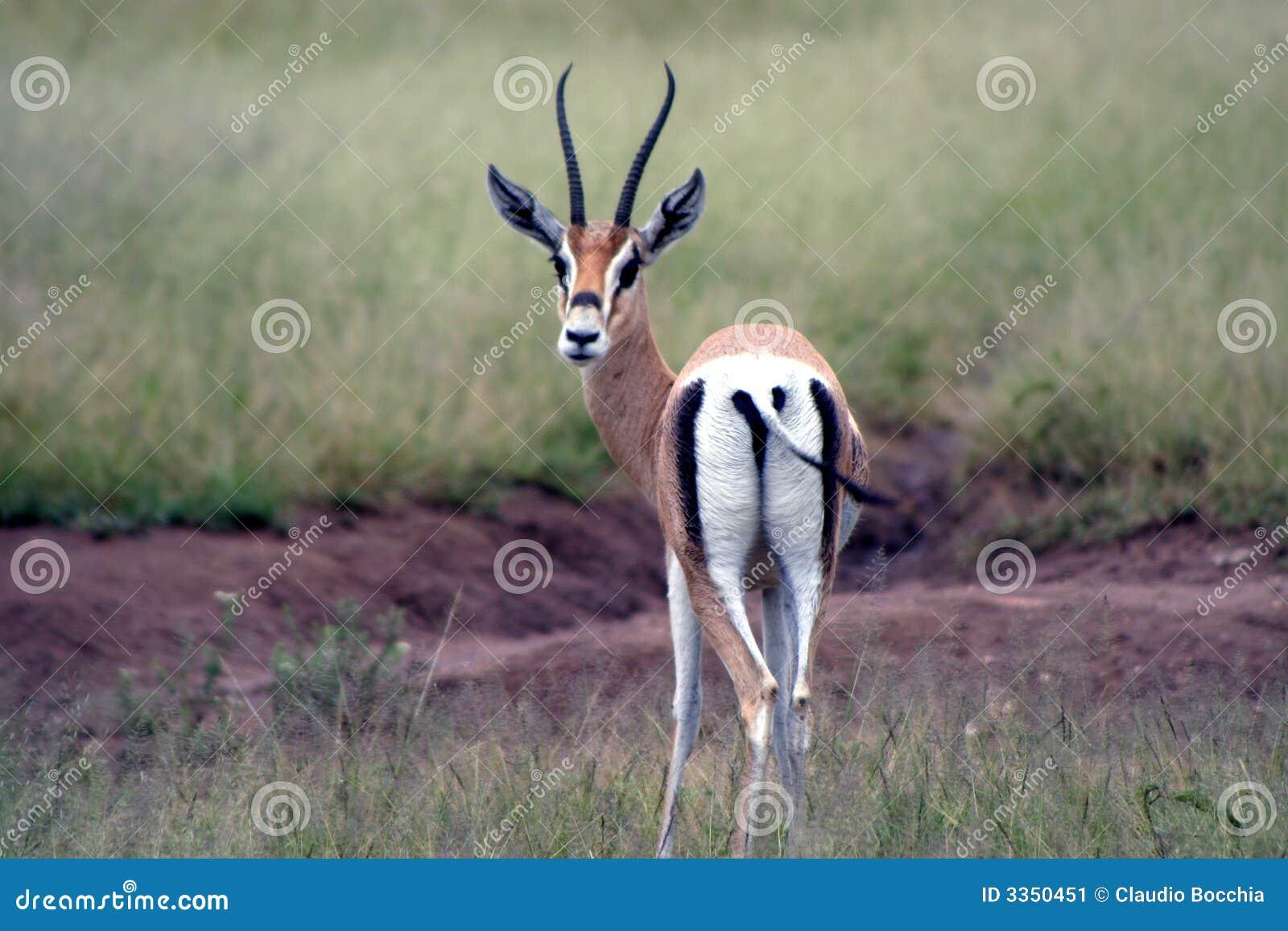 Animais selvagens em Tanzânia