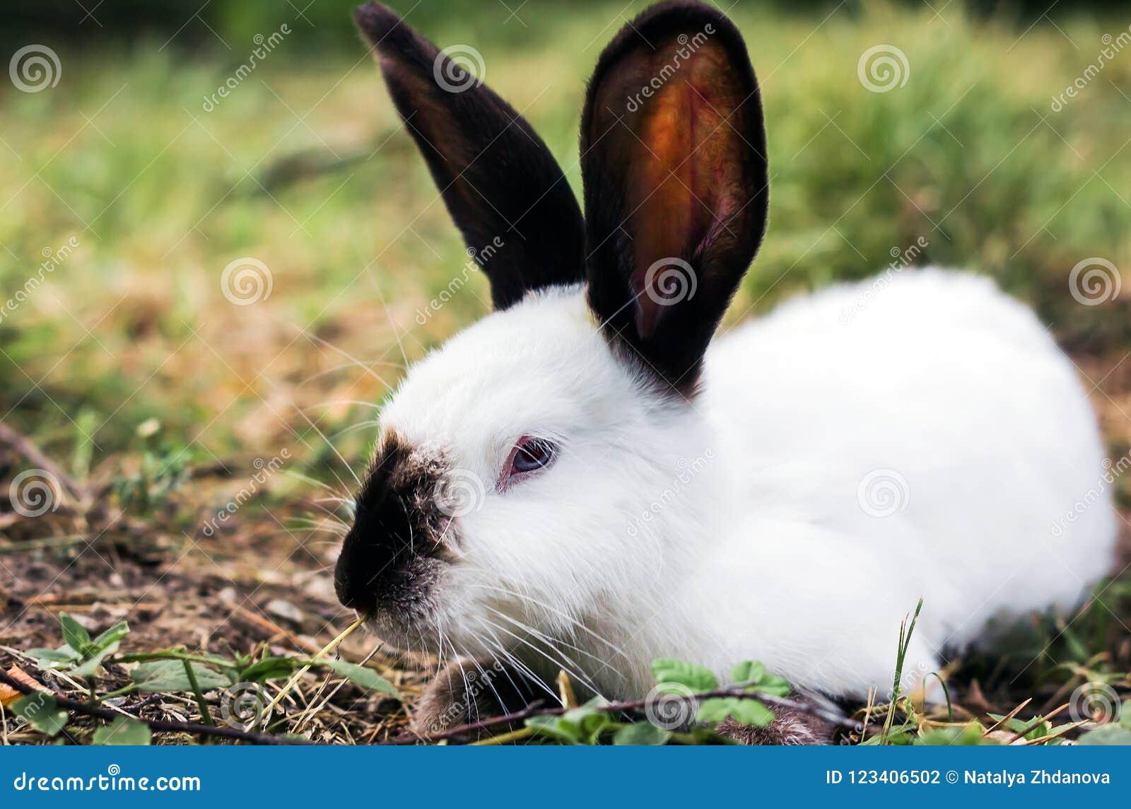 Animais selvagens na natureza, coelho branco na grama