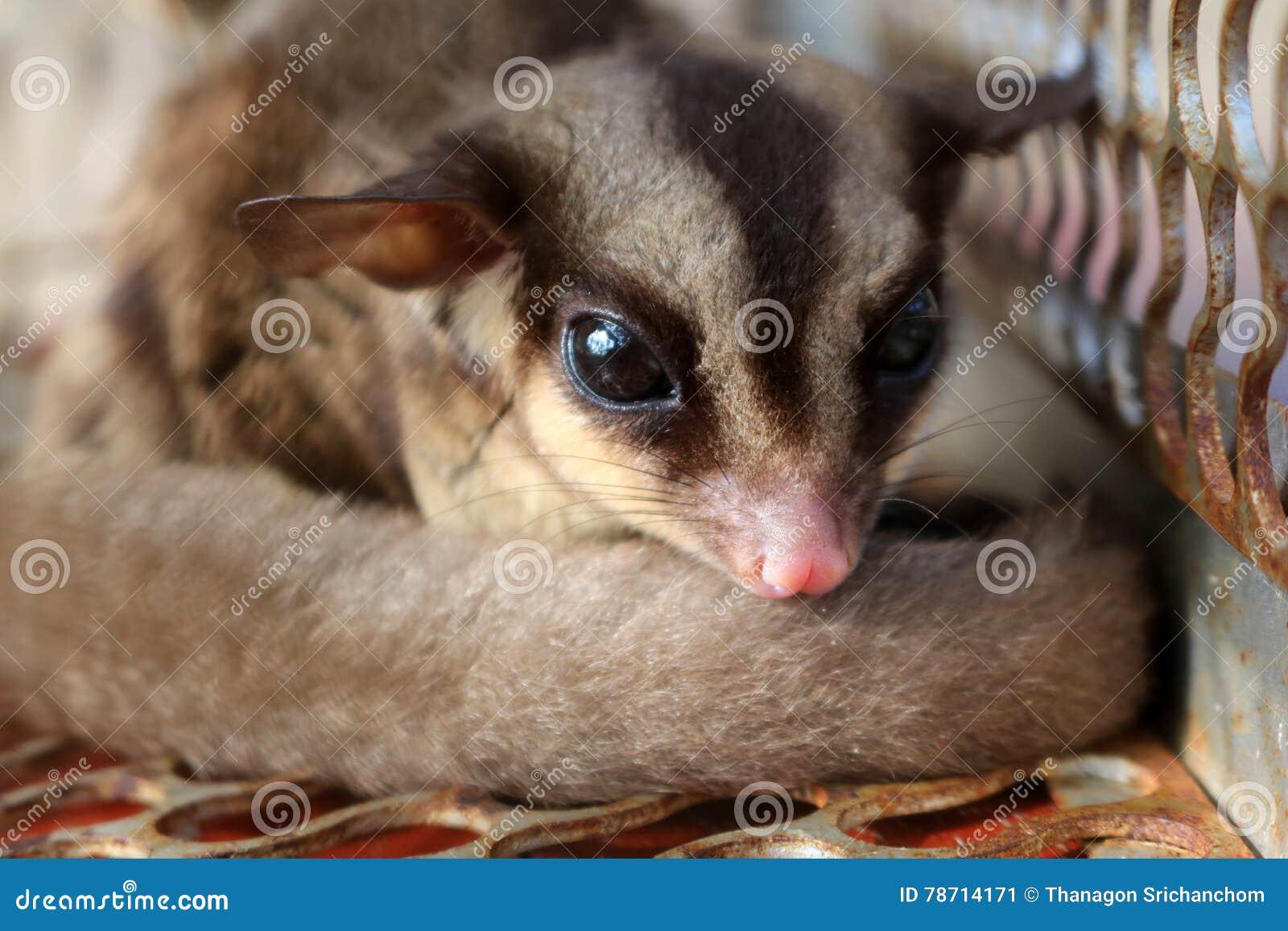 Animais selvagens nas gaiolas, planador do açúcar de Austrália