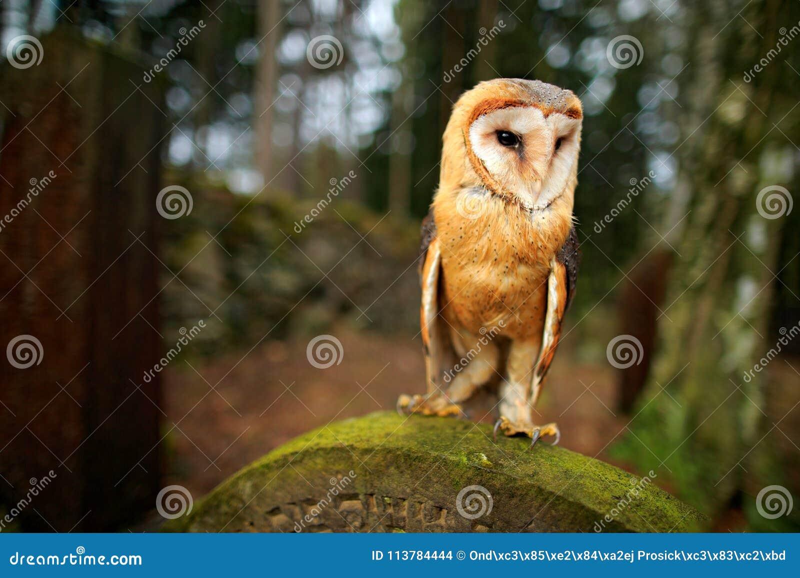 Animais selvagens urbanos Coruja de celeiro mágica do pássaro, Tito alba, voando acima da cerca de pedra no cemitério da floresta