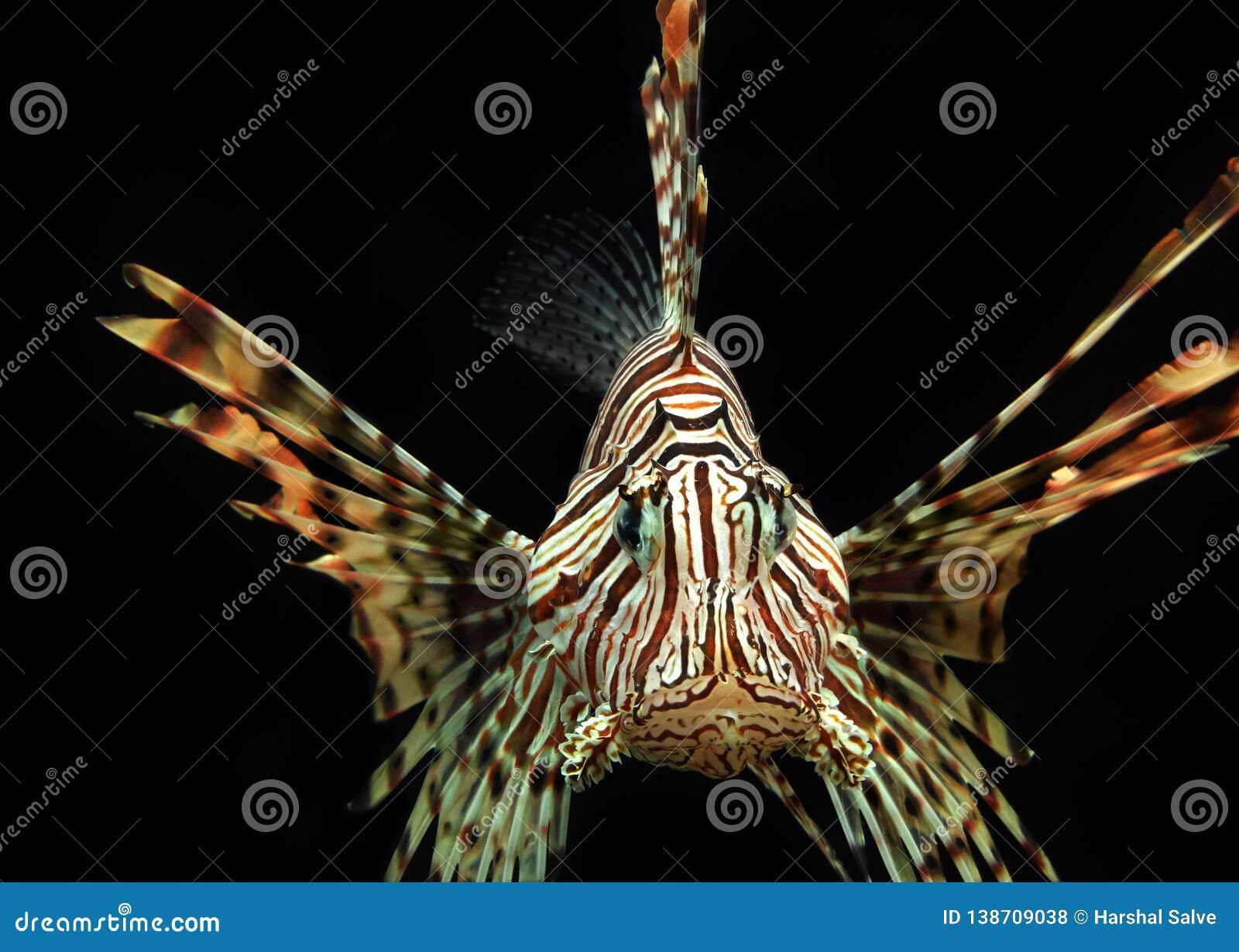 Animal acuático del Lionfish rojo