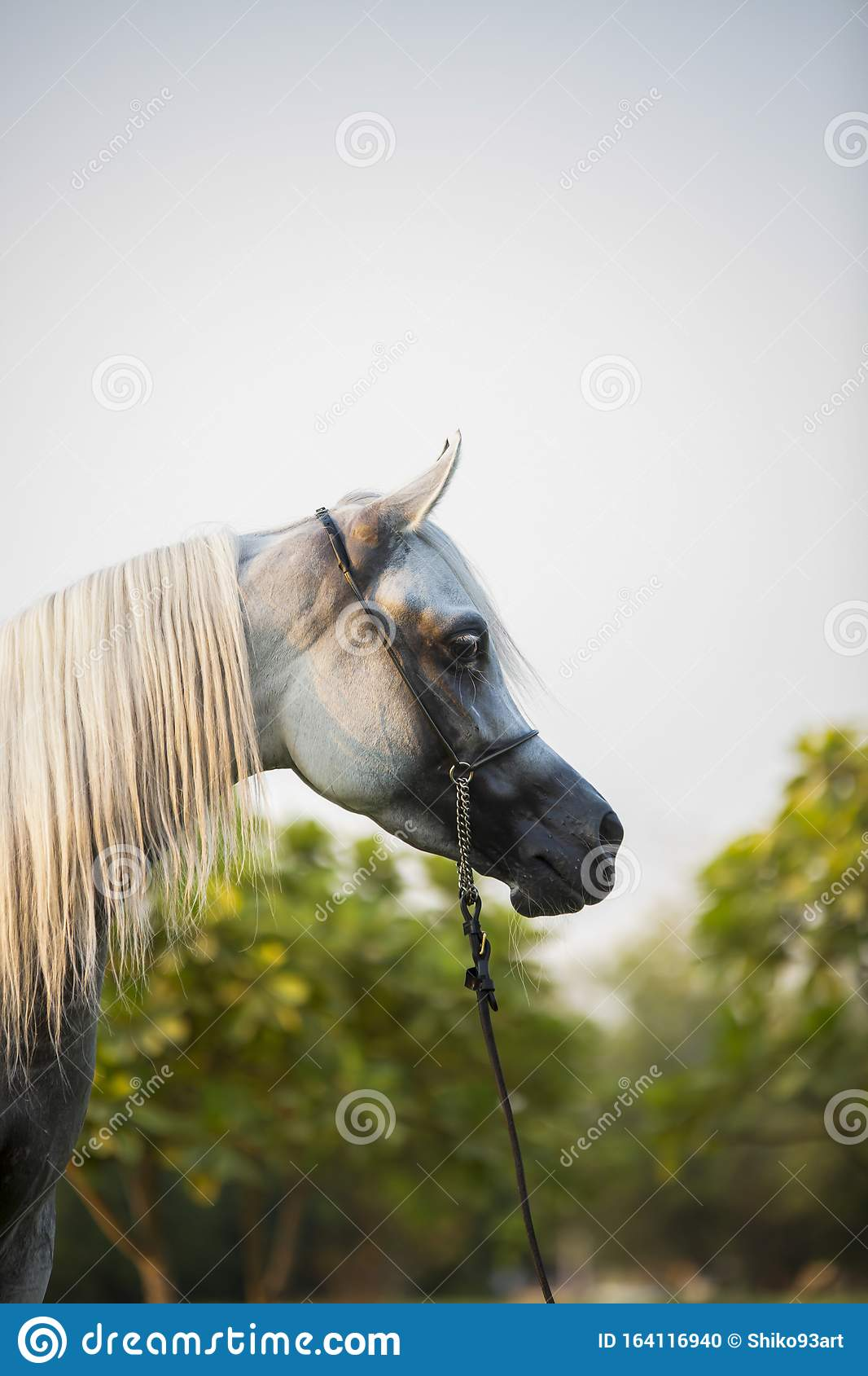 Free Arabian White Horse A Beautiful Stock Photo Image Of Horse High 164116940