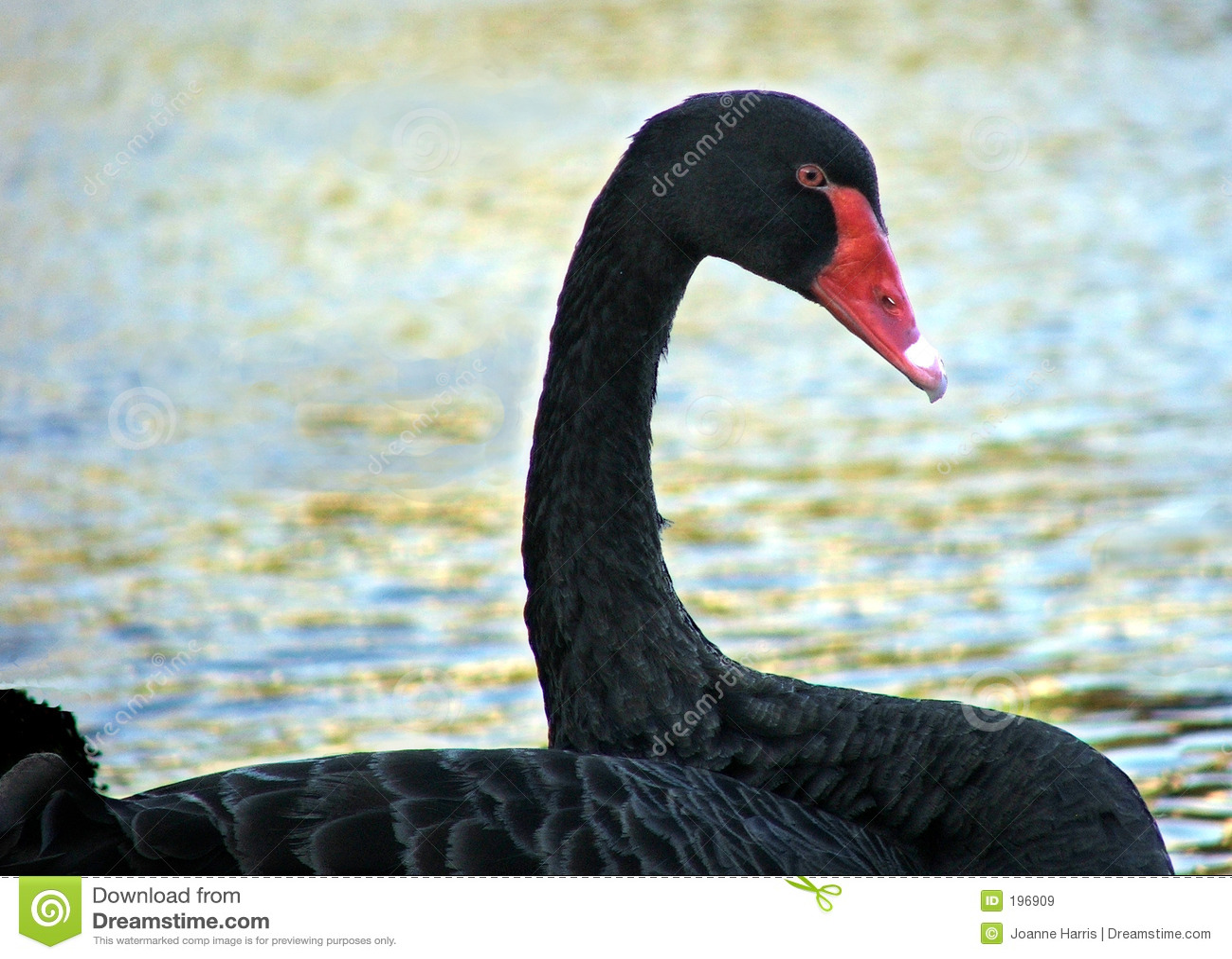 Animal - blackswan