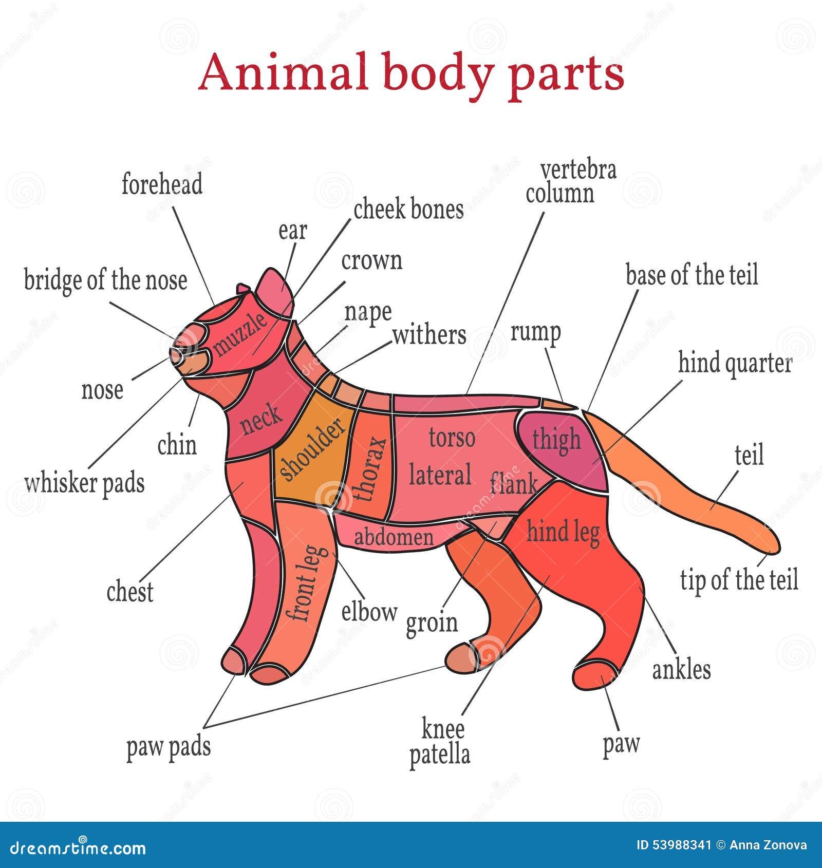 Animal Body Parts Vector Illustration on Ear Diagram Worksheet