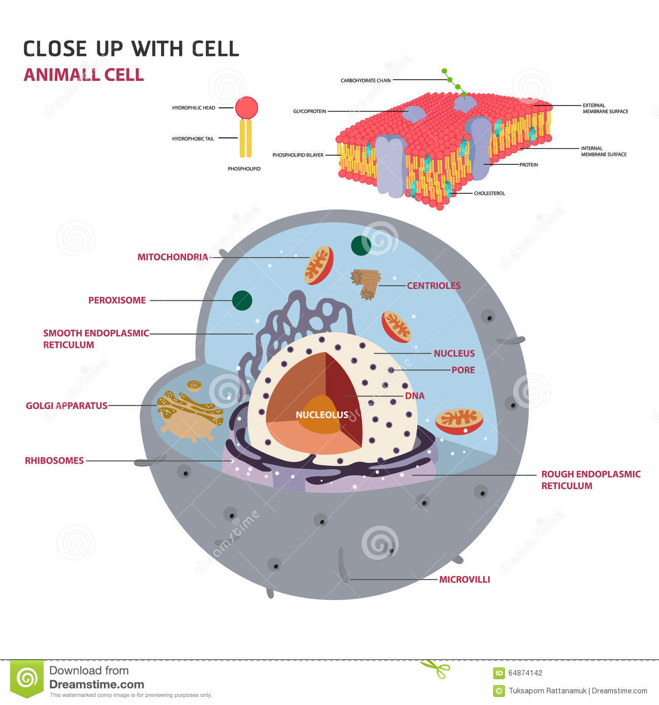 Images Of Eukaryotic Cell 2d Spacehero Plant Anatomy Stock Vector Image 43912193 Animal
