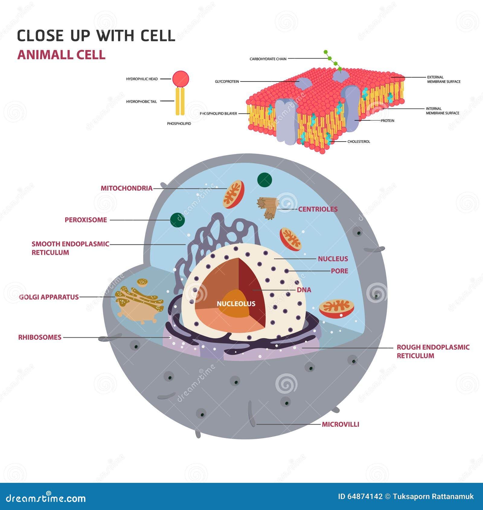 eukaryotic cell 2d - photo #23