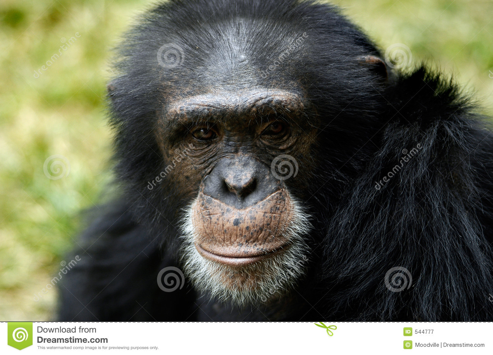Animal - chimpanzé (troglodyte de carter)