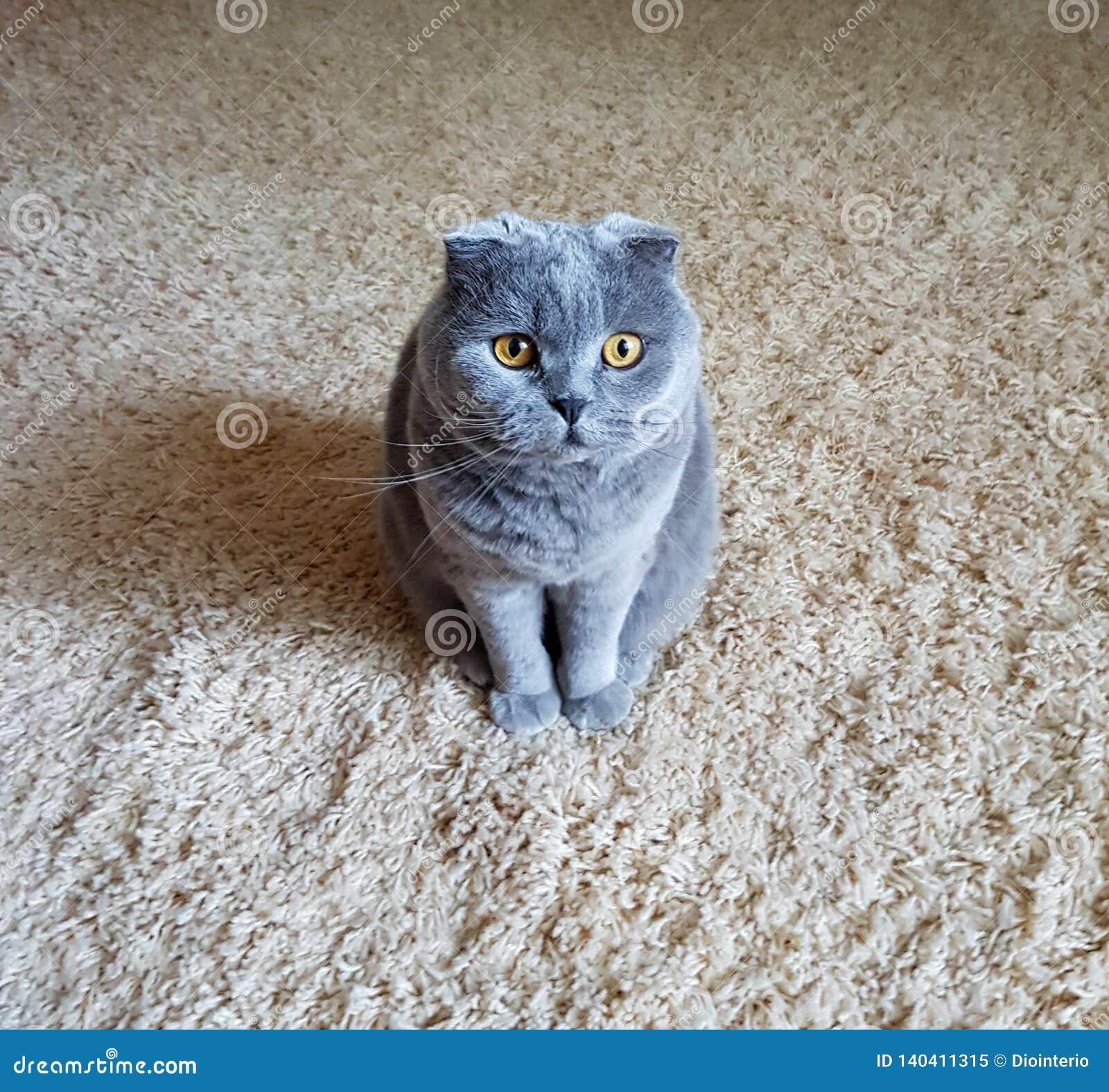 Animal de estimação favorito Gato