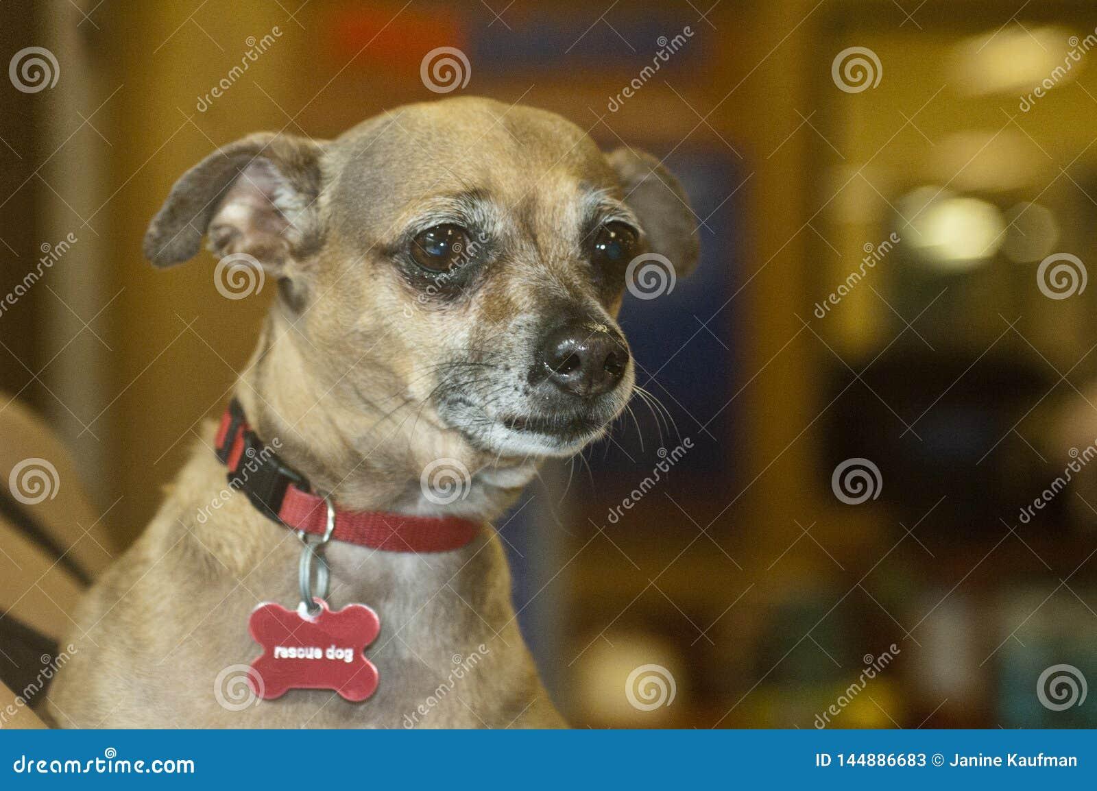 Animal de estimação marrom triste pequeno do abrigo do cão da chihuahua