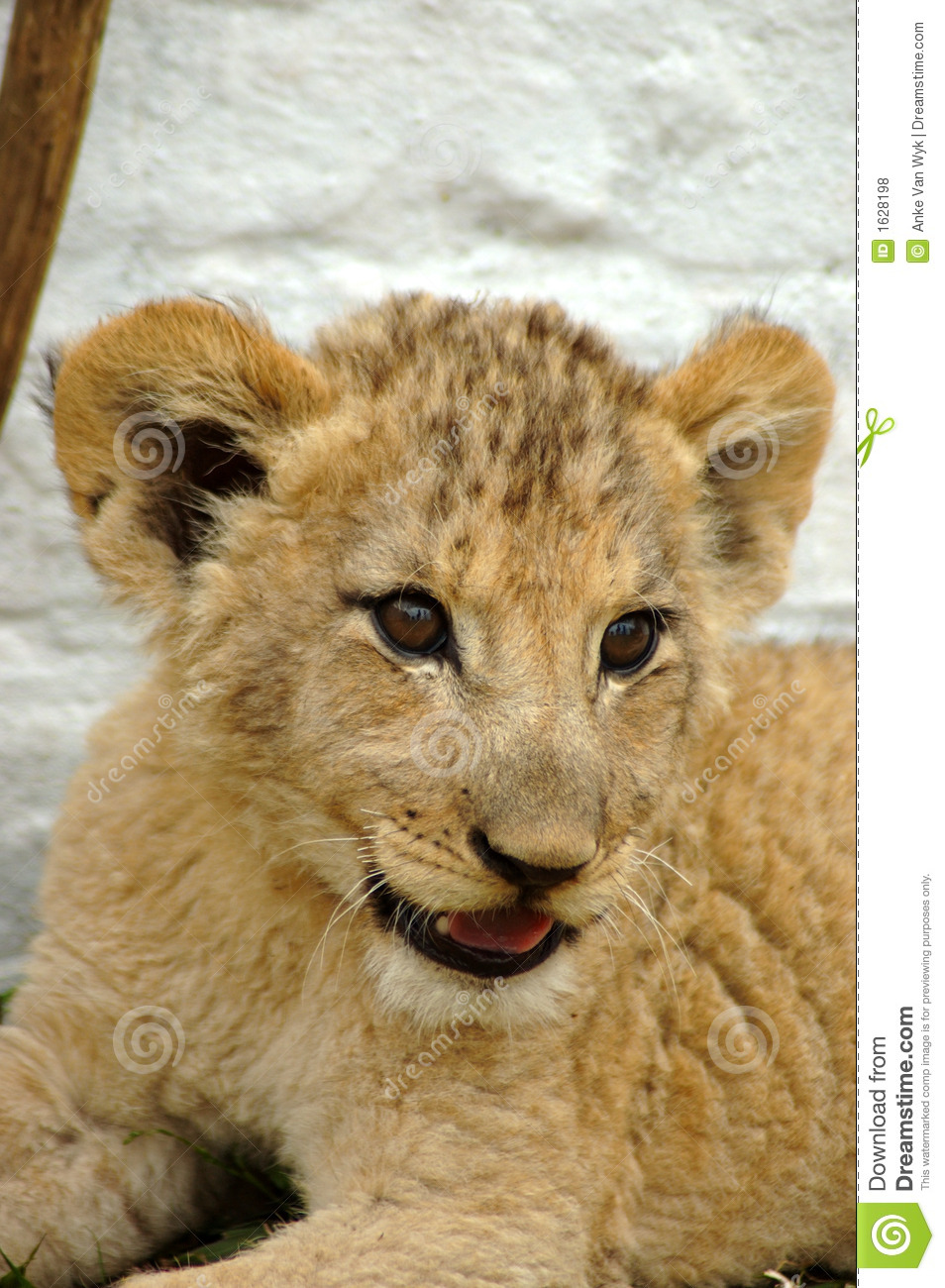 animal de lion africain photo stock image du cinq grand 1628198. Black Bedroom Furniture Sets. Home Design Ideas