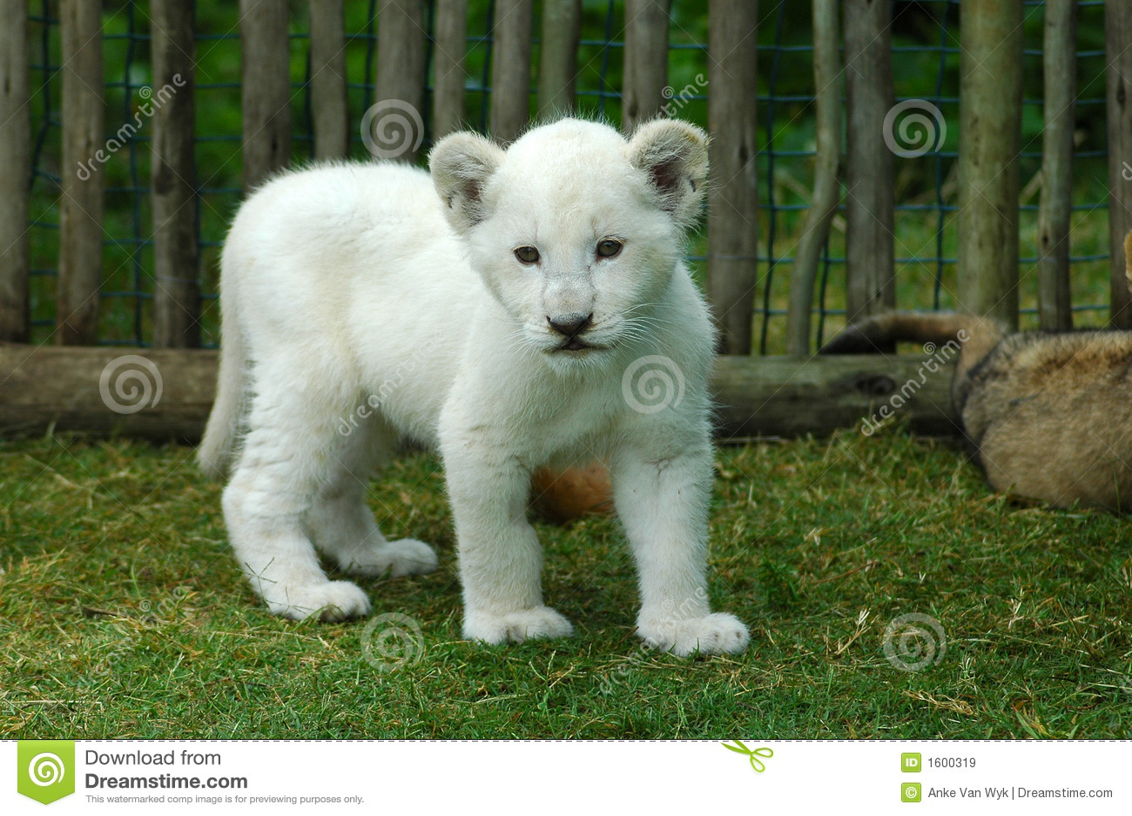 Animal de lion blanc image stock image du visages - Photos de lions gratuites ...