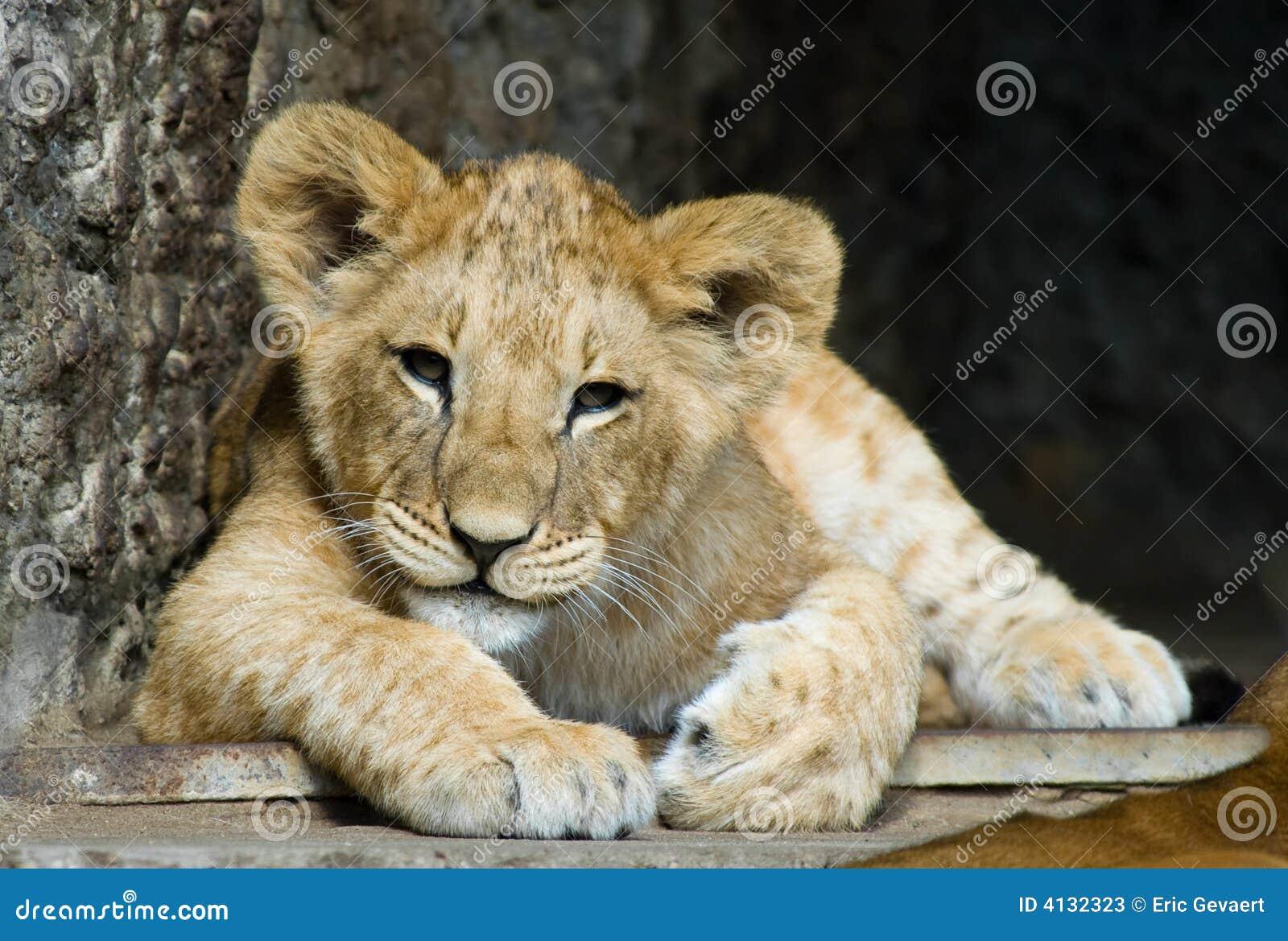 Animal de lion mignon image stock image du verticale - Animal mignon ...