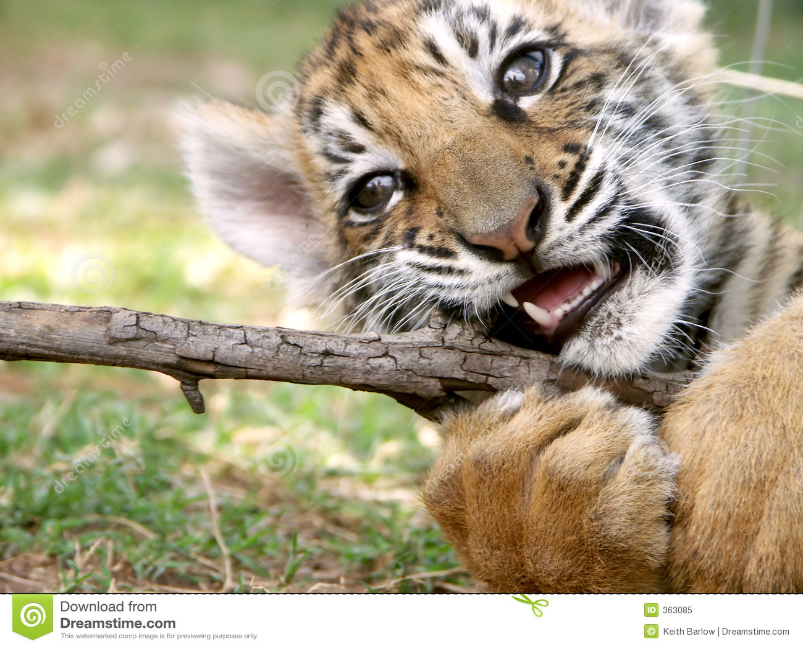 Animal de tigre à la pièce