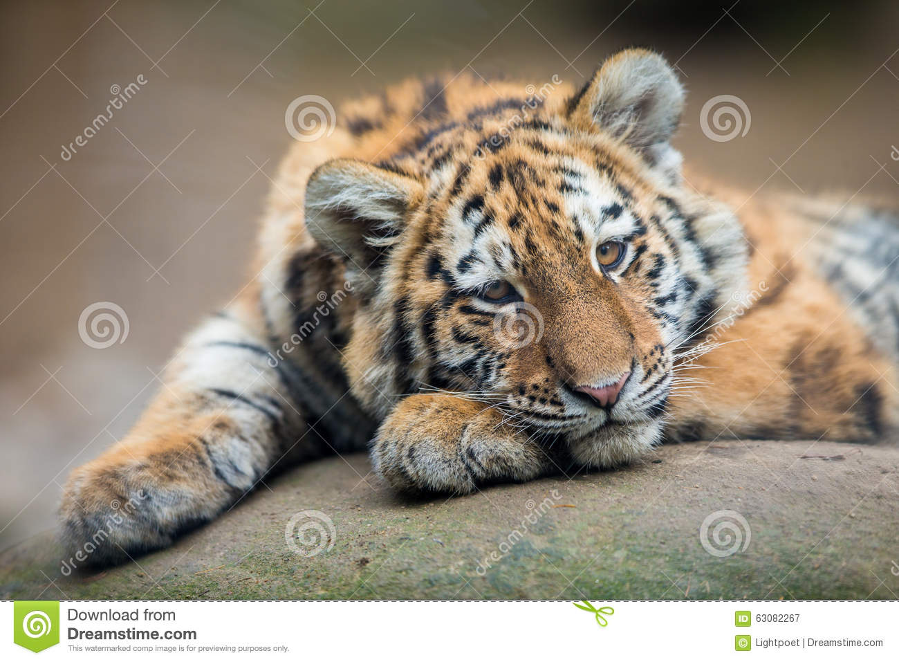 Download Animal de tigre mignon image stock. Image du endangered - 63082267