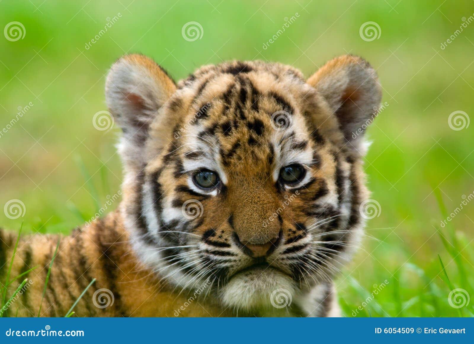 Animal de tigre sib rien mignon images libres de droits - Animal mignon ...