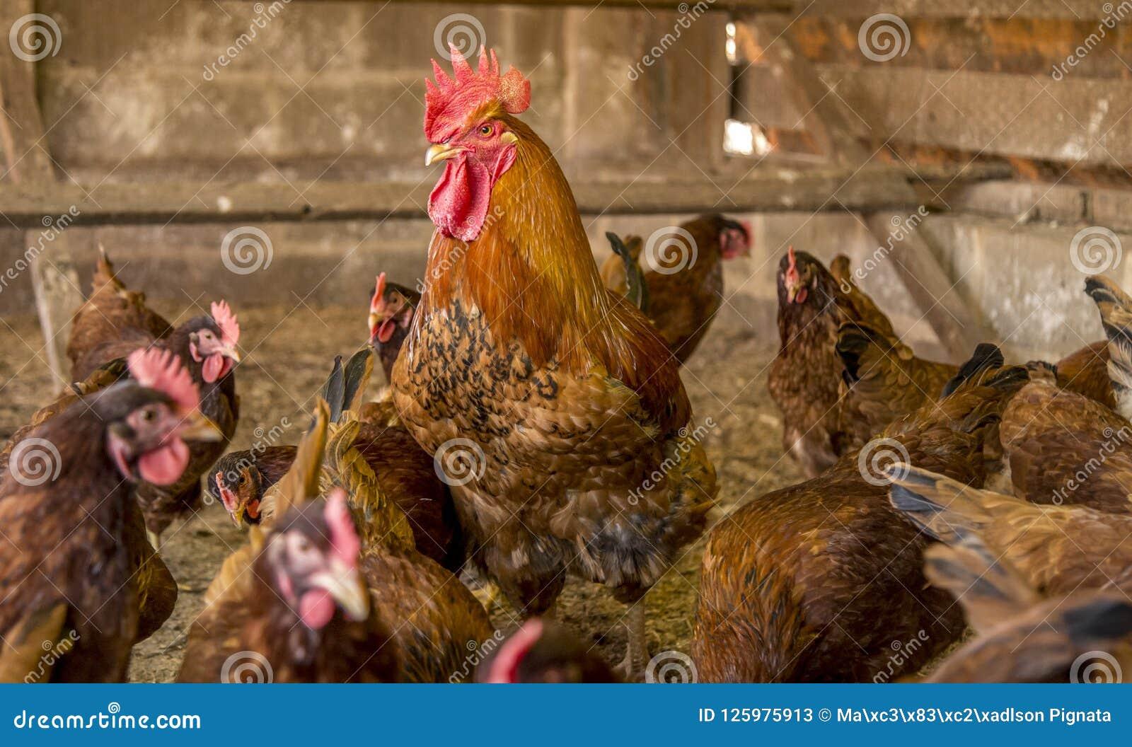 Animal del campo de la creación del pollo