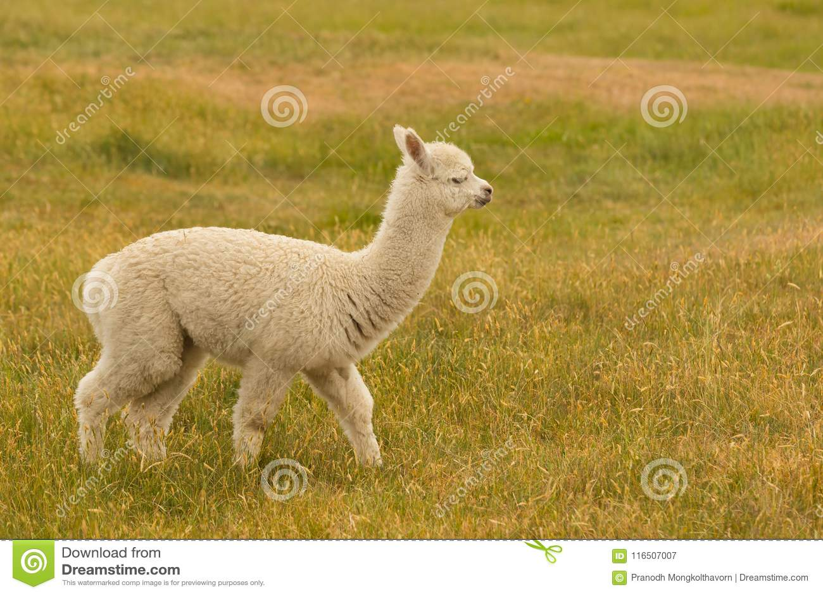 Animal del campo lindo de la alpaca del bebé