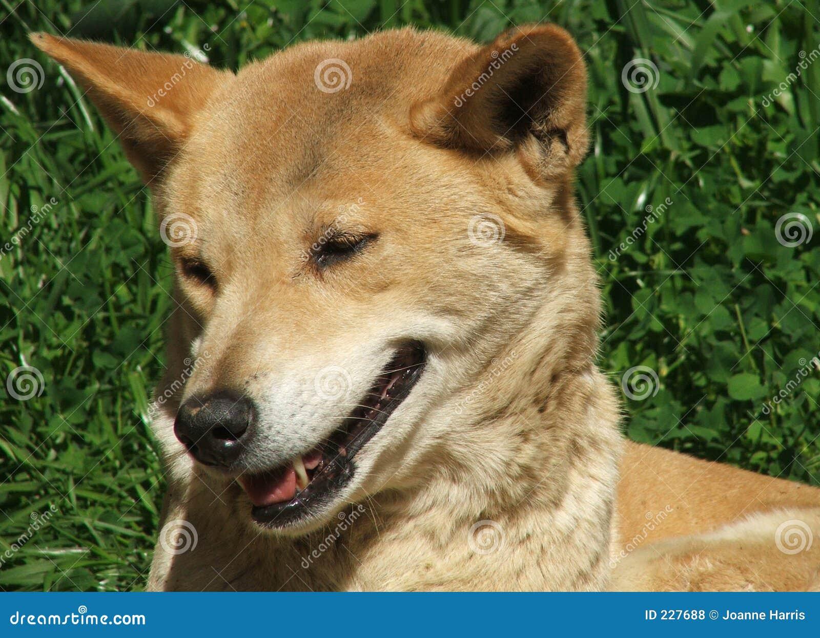 Animal - dingo