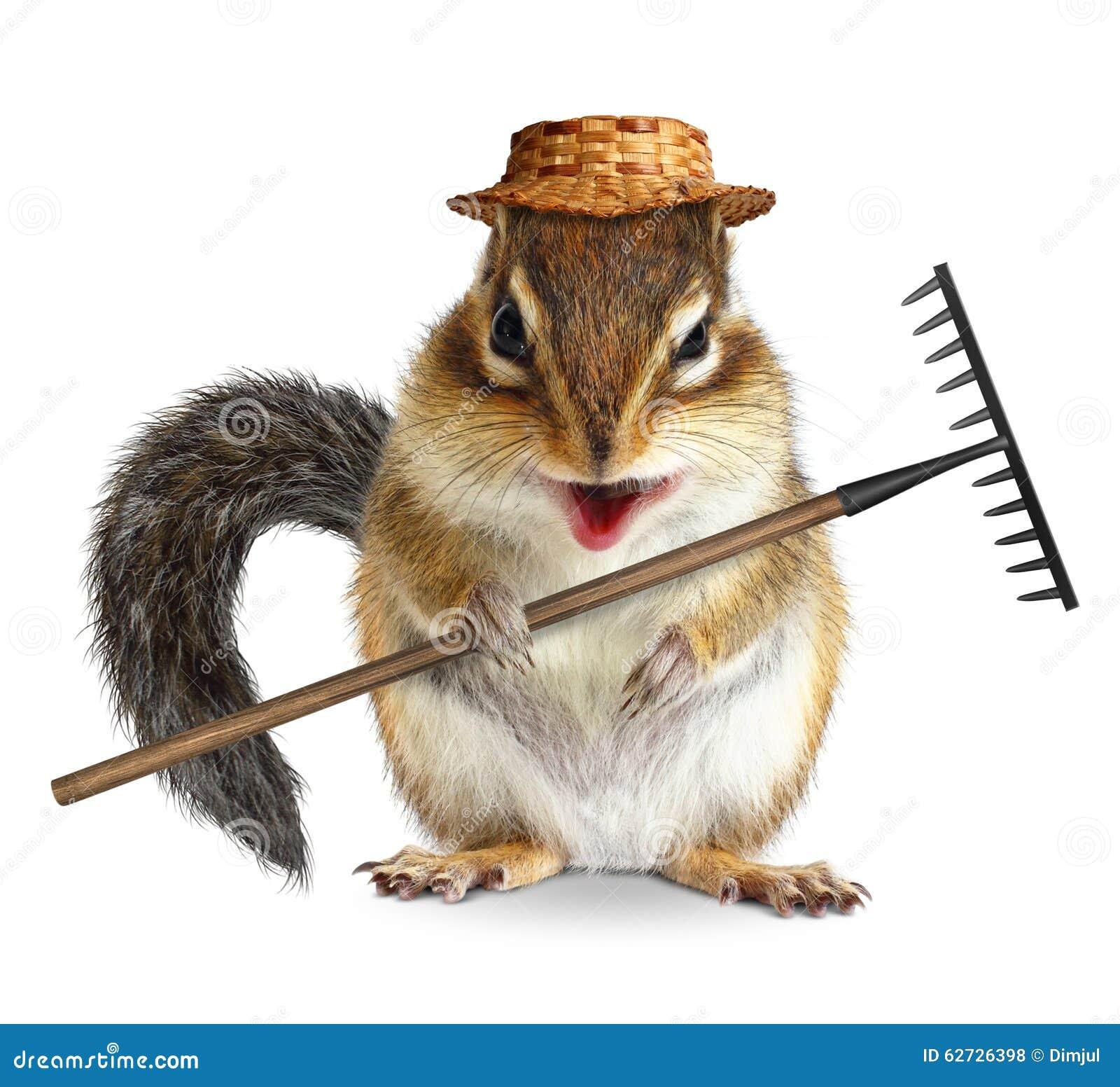 Animal drôle de jardinier, tamia avec le râteau et chapeau d isolement sur le wh