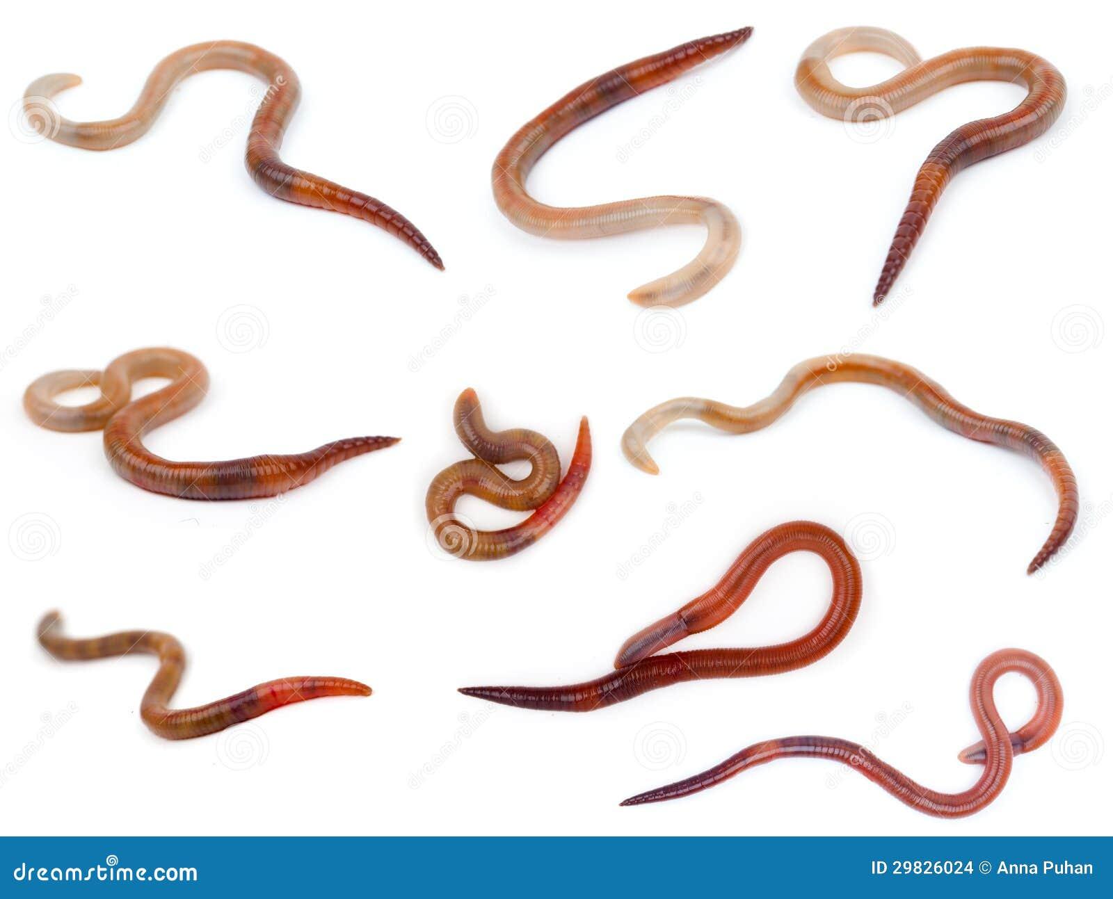 animal earthworm stock images image 29826024