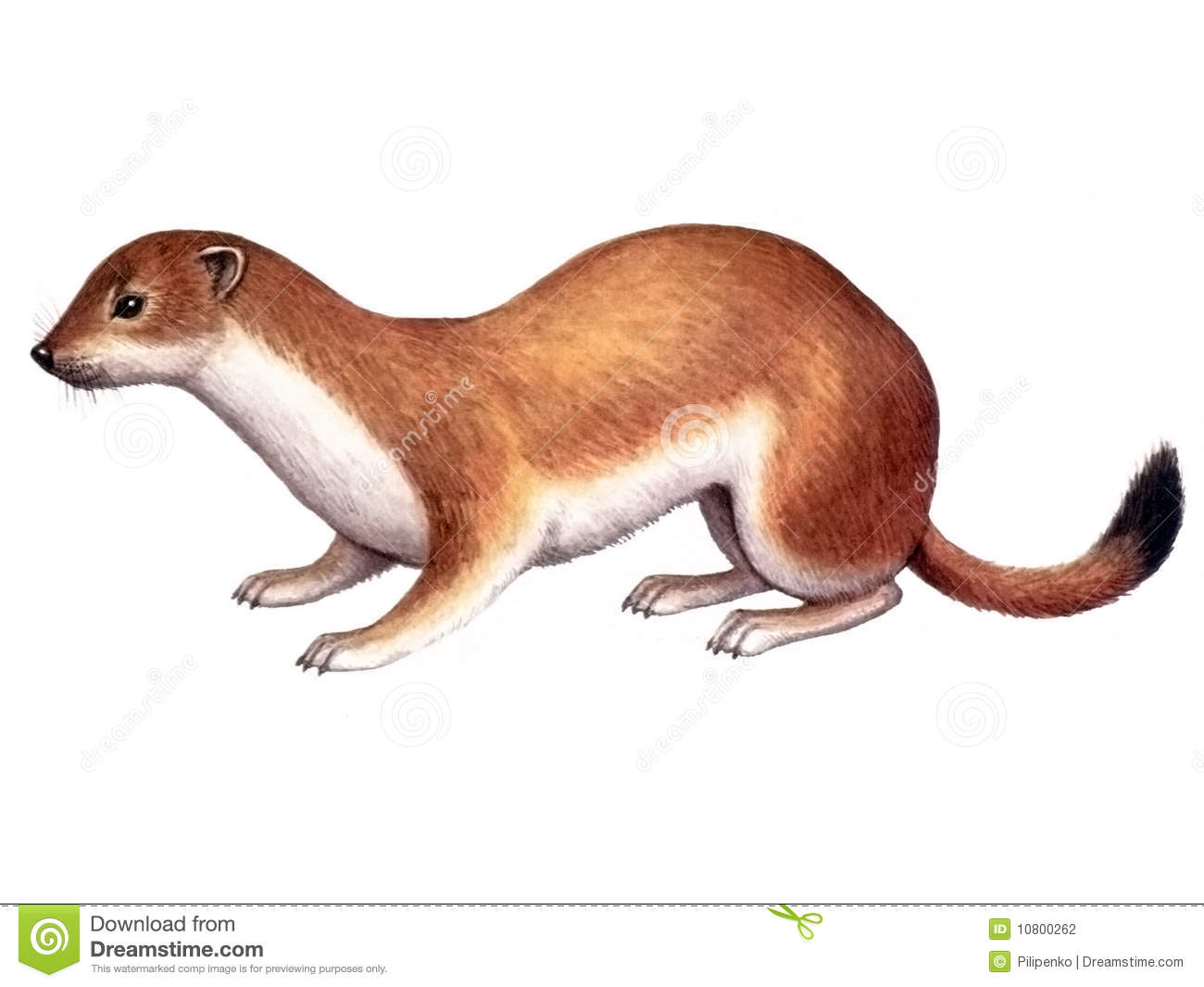 venezuela map with Stock Photography Animal Ermine Image10800262 on Libanon additionally PeruWoestijn likewise File Lake Maracaibo map Hr as well Nepal Physical Map likewise 9216483576.