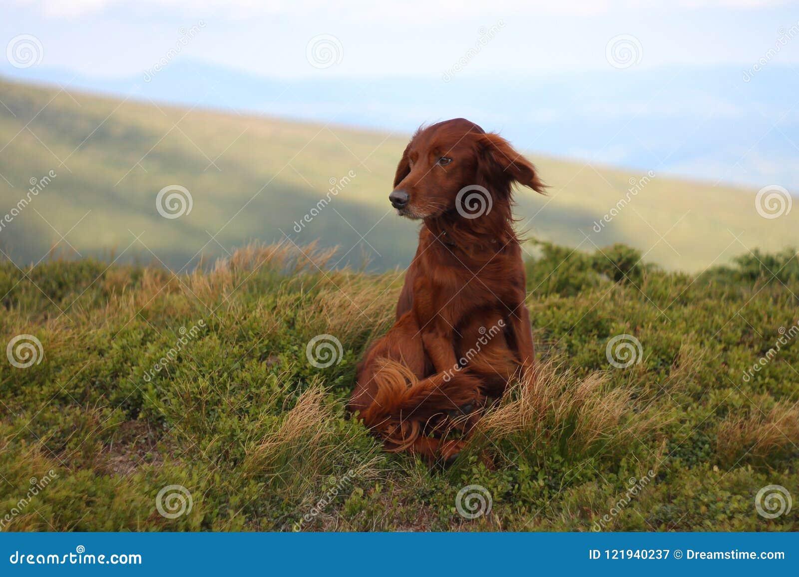 Animal familier à la maison, poseur irlandais, dans les montagnes, chien, mon chien, mon chien préféré