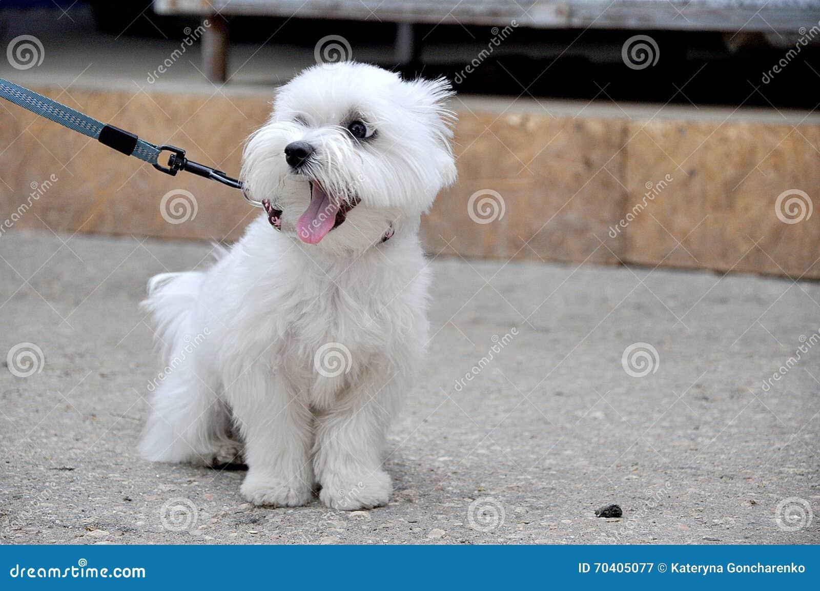 animal familier de ba llement blanc de petit chien d. Black Bedroom Furniture Sets. Home Design Ideas