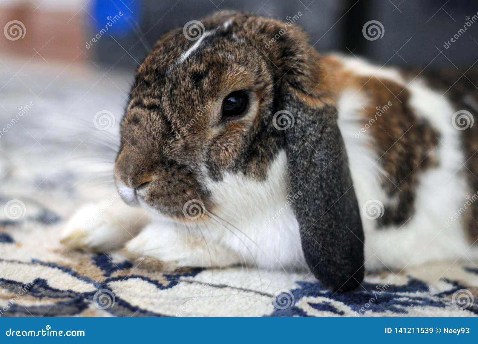 Animal familier de brun et blanc domestique pelucheux mignon de lapin