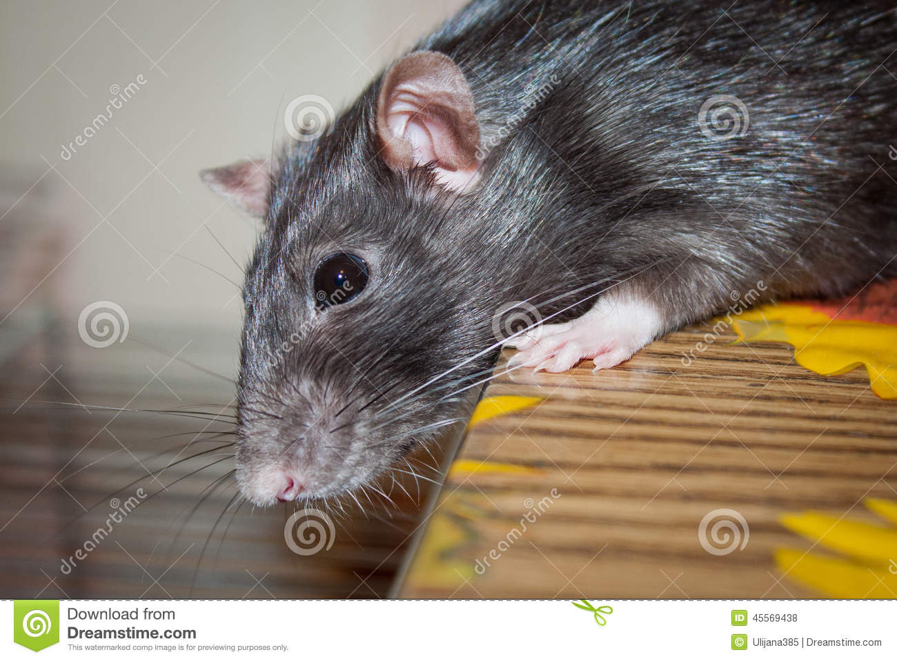 Animal familier de rat