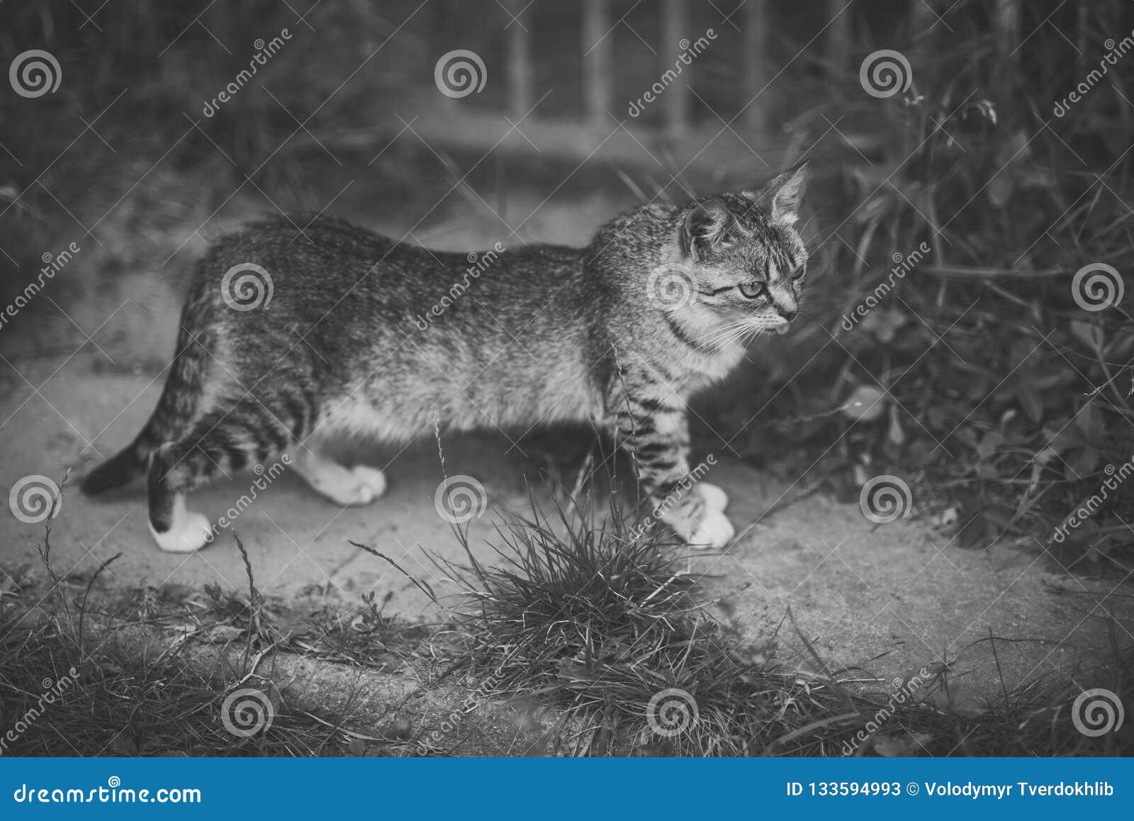 Animal felino, doméstico, mamífero