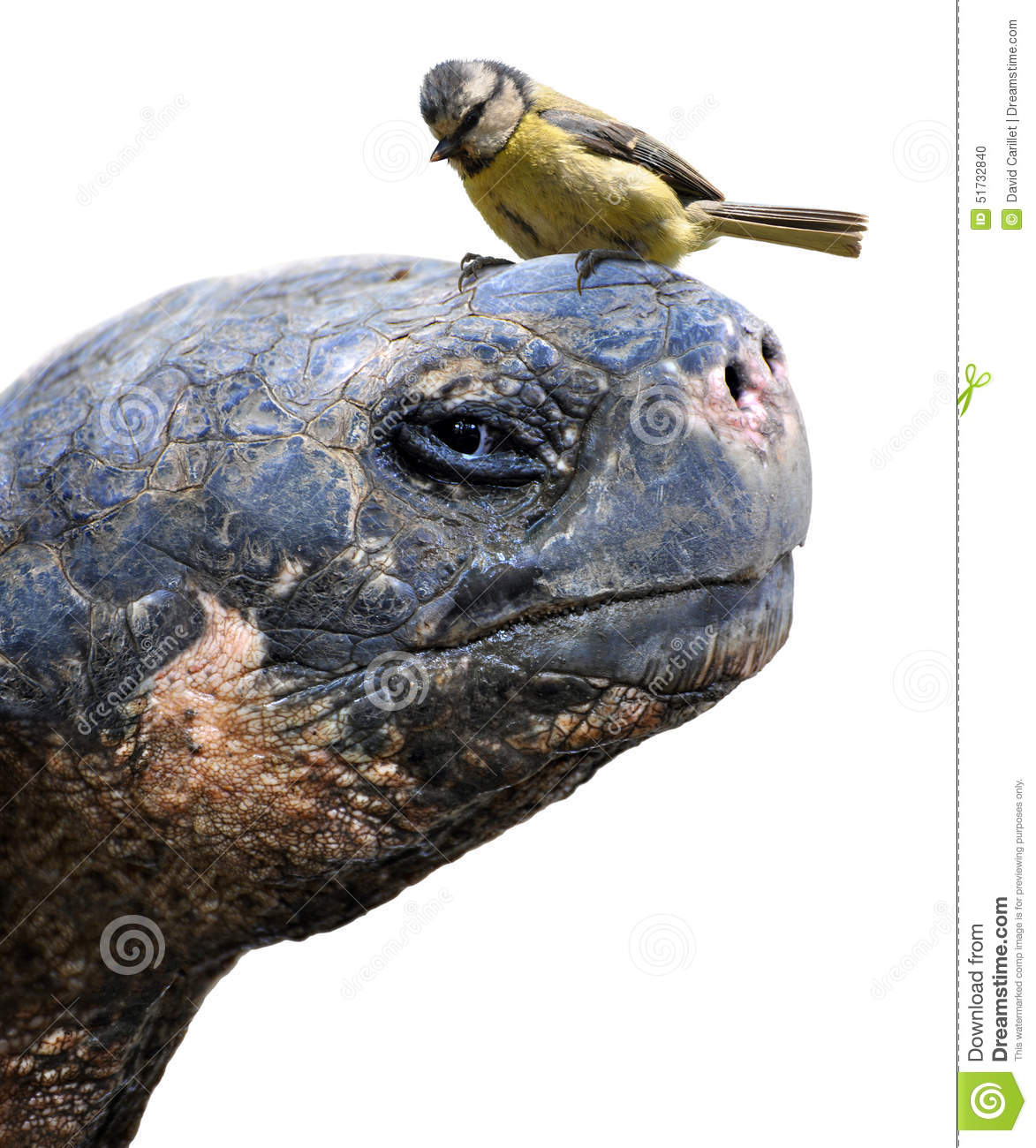 Animal friends, a giant Galapagos tortoise and a small bird, the Eurasian blue tit
