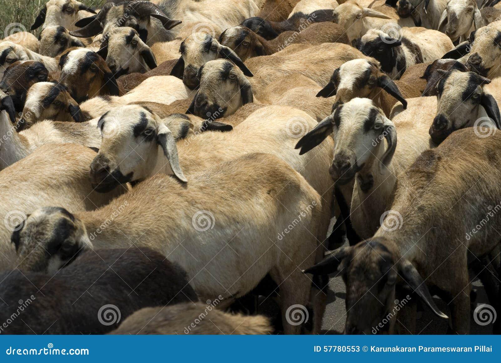 Animal husbandry goats rearing or goat farming