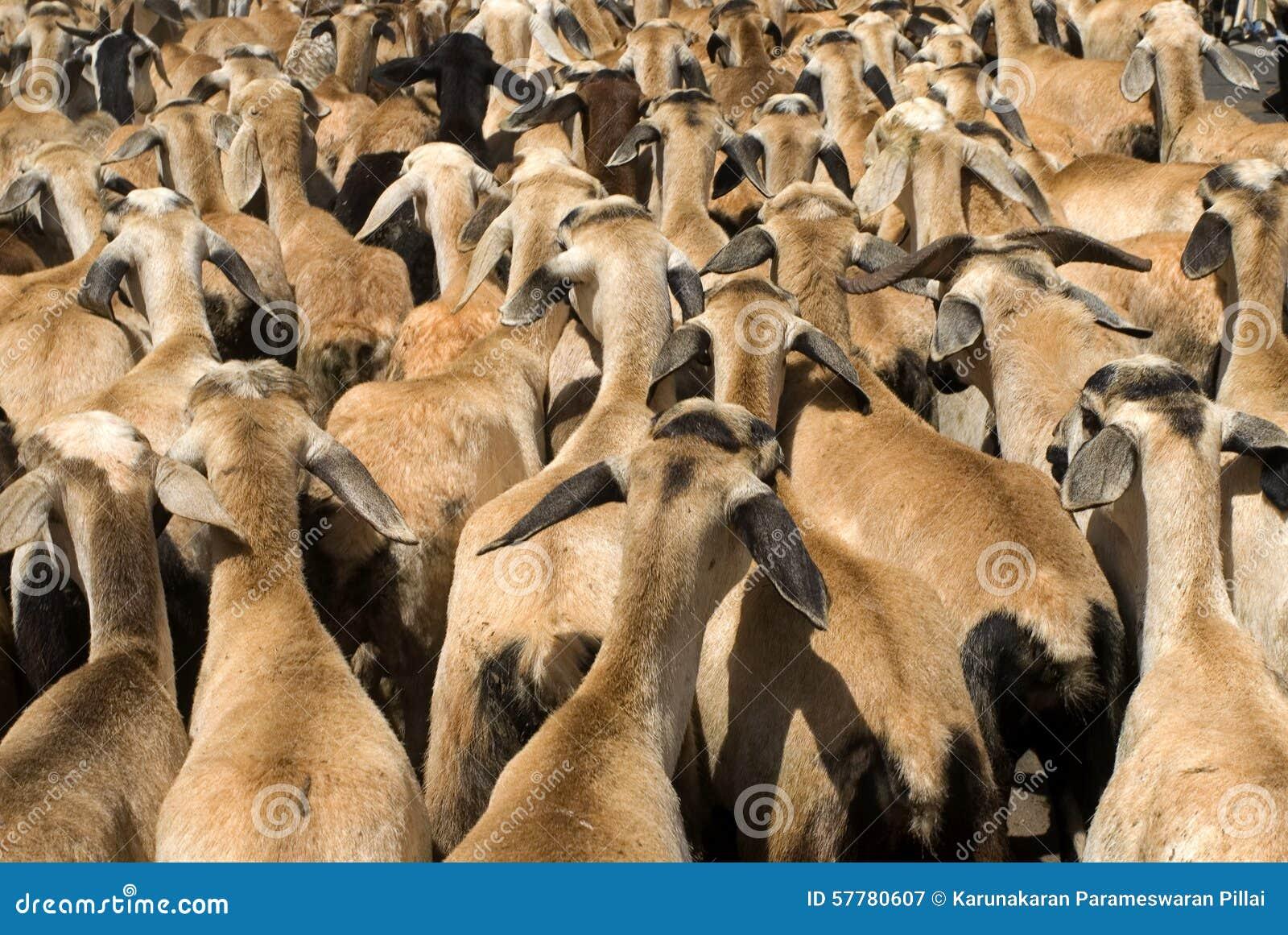 Animal Husbandry- Goats Rearing Or Goat Farming Stock Image