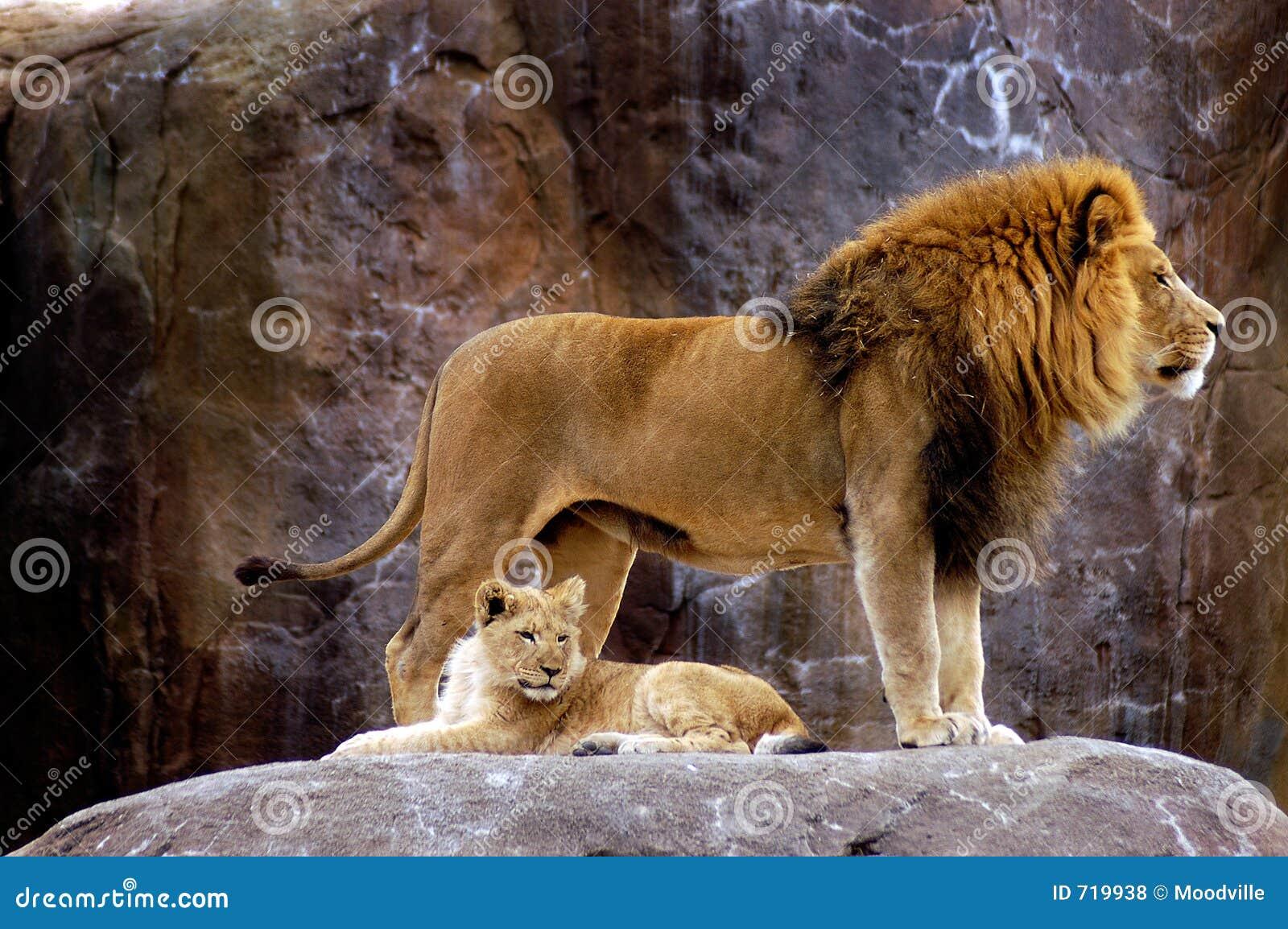 Animal - león africano (krugeri de leo del Panthera)
