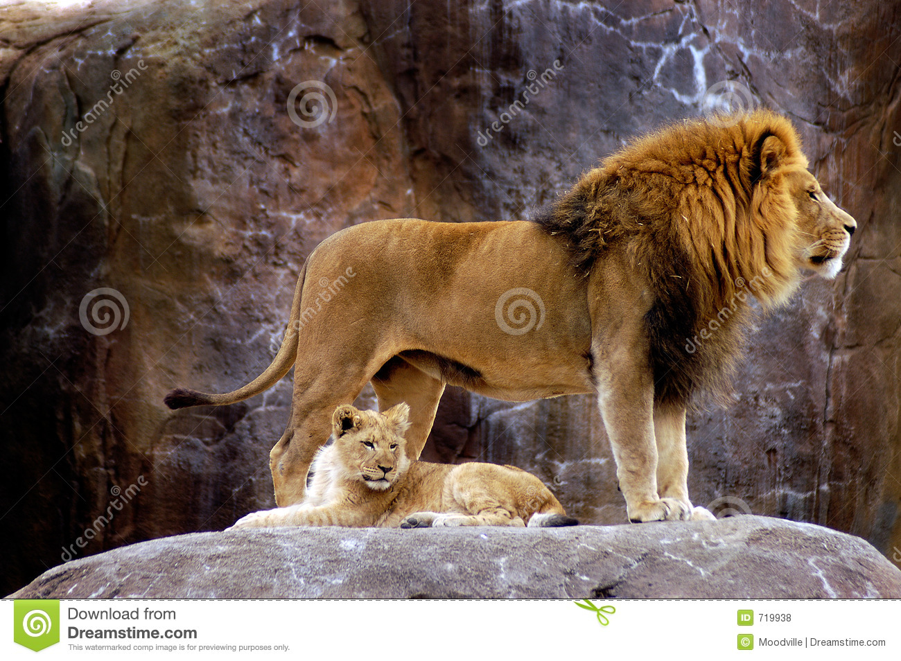 Animal - lion africain (krugeri de Lion de Panthera)