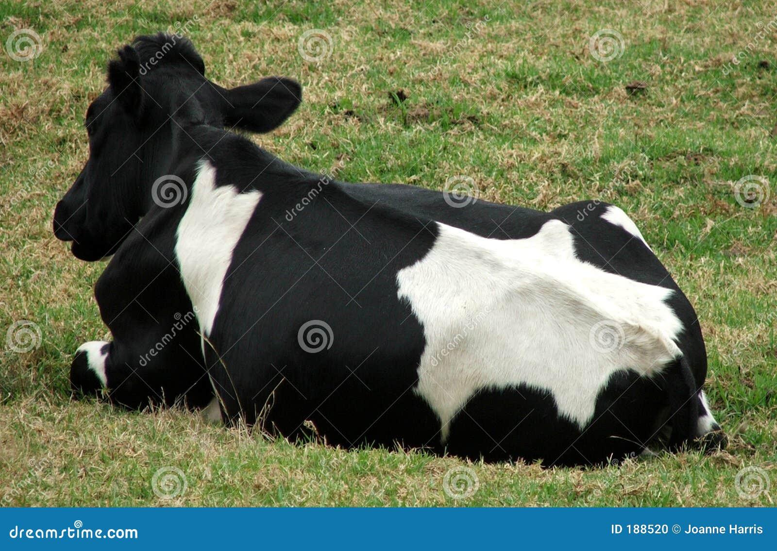 Animal - mentira de la vaca