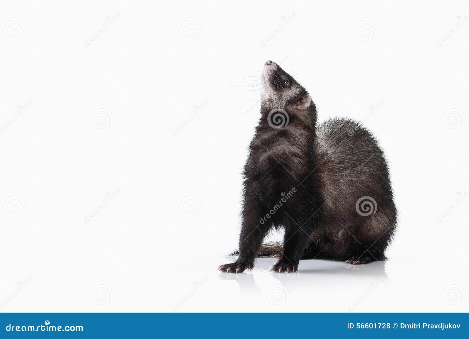 Animal. Old ferret on white background