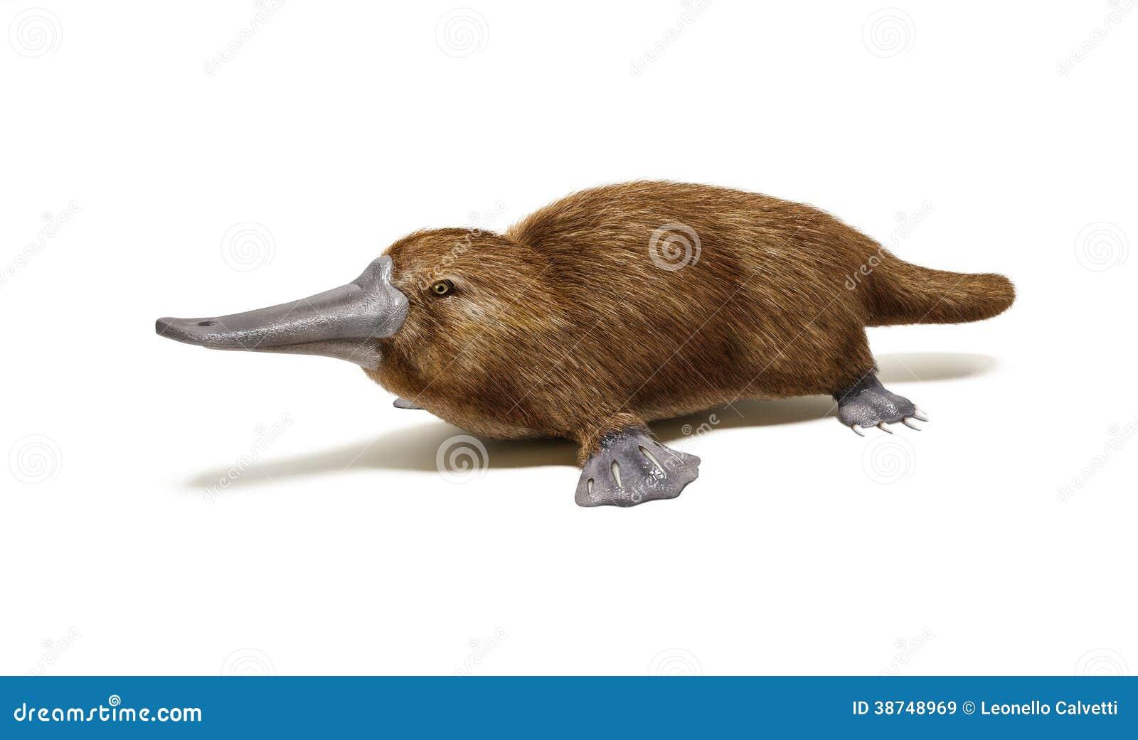 Animal Pato-cargado En Cuenta Ornitorrinco. Stock de ilustración ...