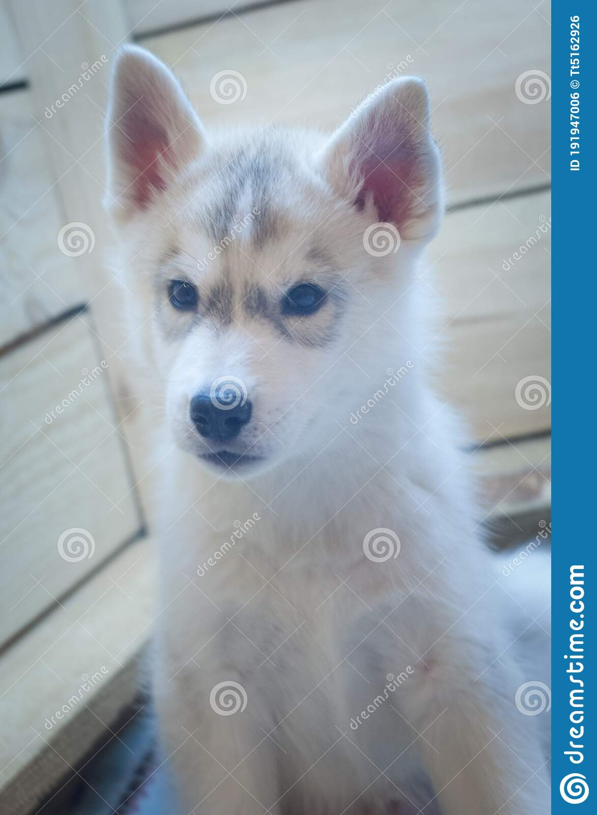 3 353 Husky Baby White Background Photos Free Royalty Free Stock Photos From Dreamstime