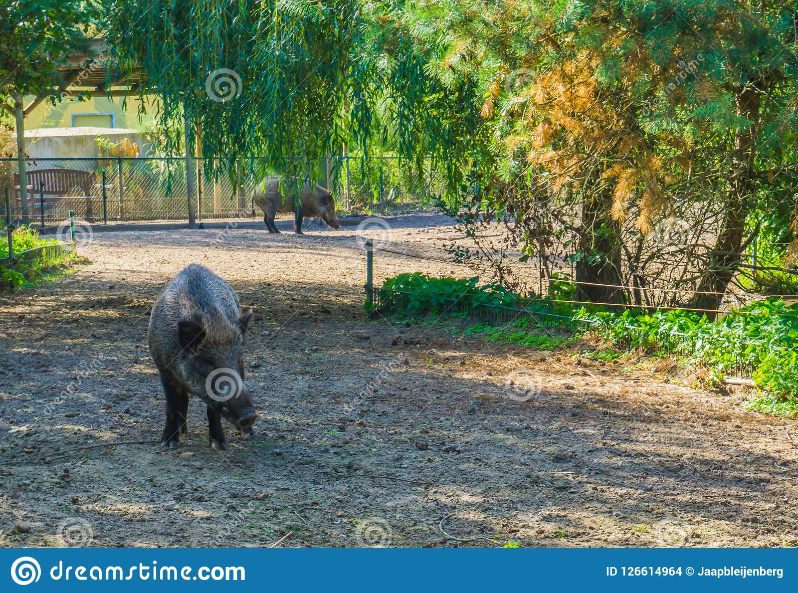 Animal portrait of a wild boar standing in a nature landscape scene with another wild boar in the background