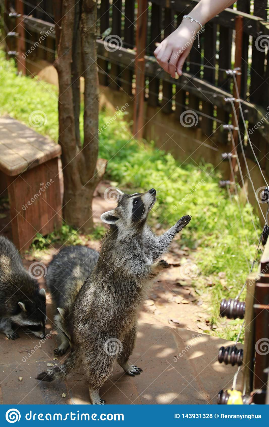 An animal of the raccoon family of the genus Ursus. From North America, because the food is washed in the water before eating, hen