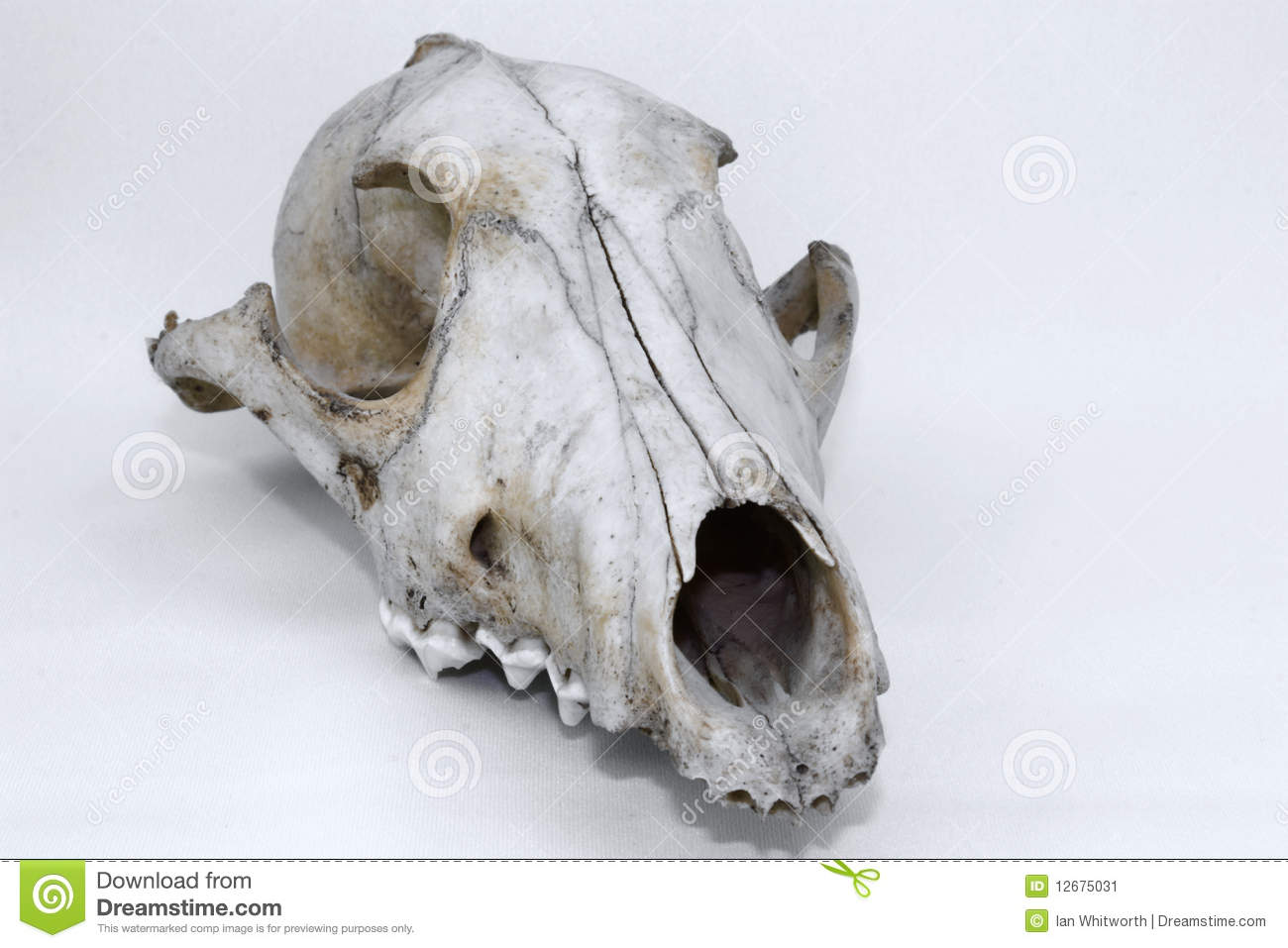 Animal skull of a wolf or wild dog on a light background found in ...