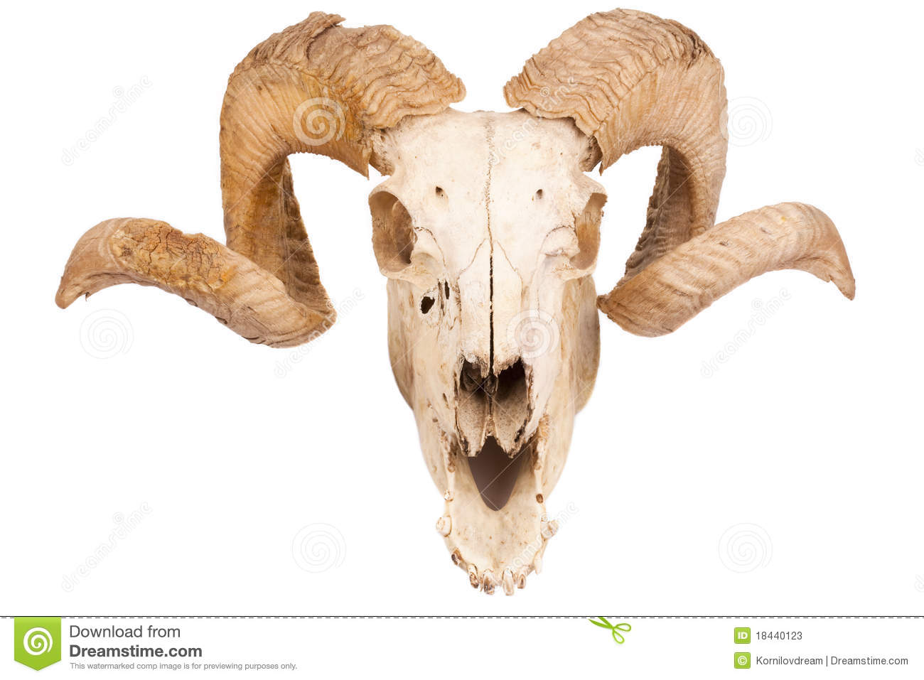 Animal Skull With Big Horn Stock Image Image Of Forehead 18440123