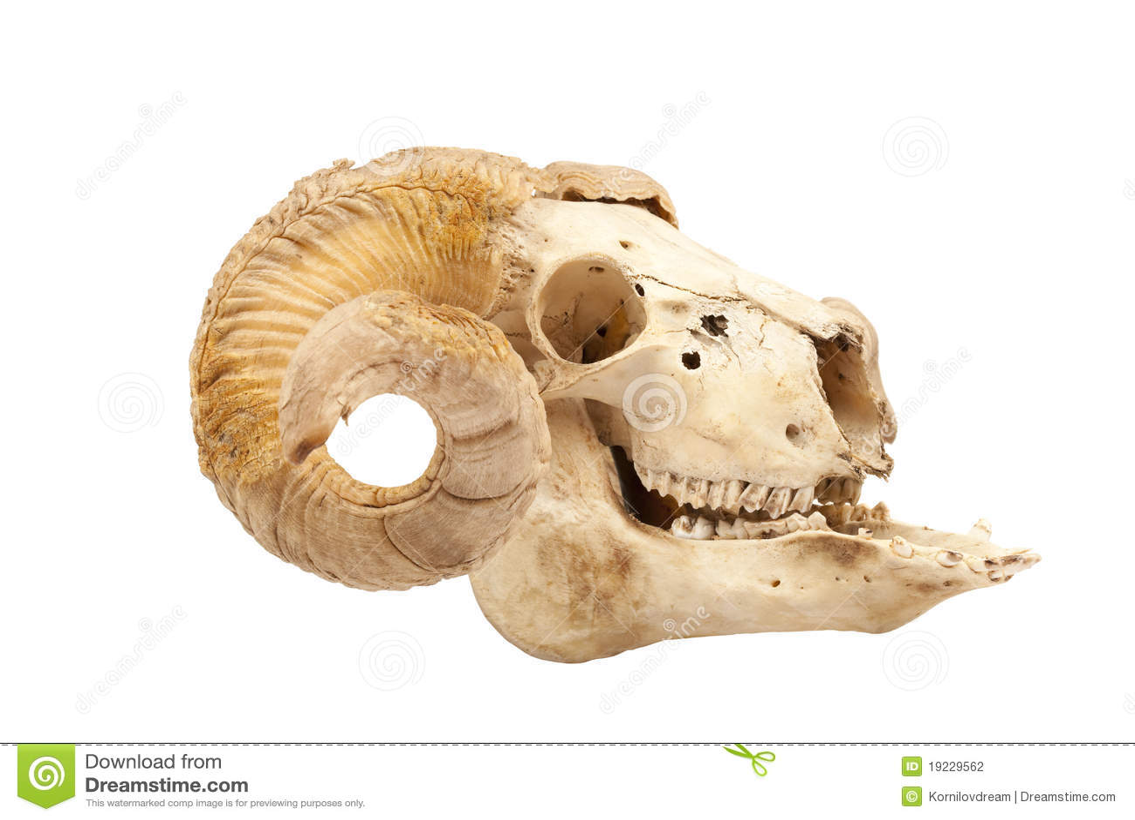Bighorn Sheep Skull Anatomy Choice Image - human body anatomy