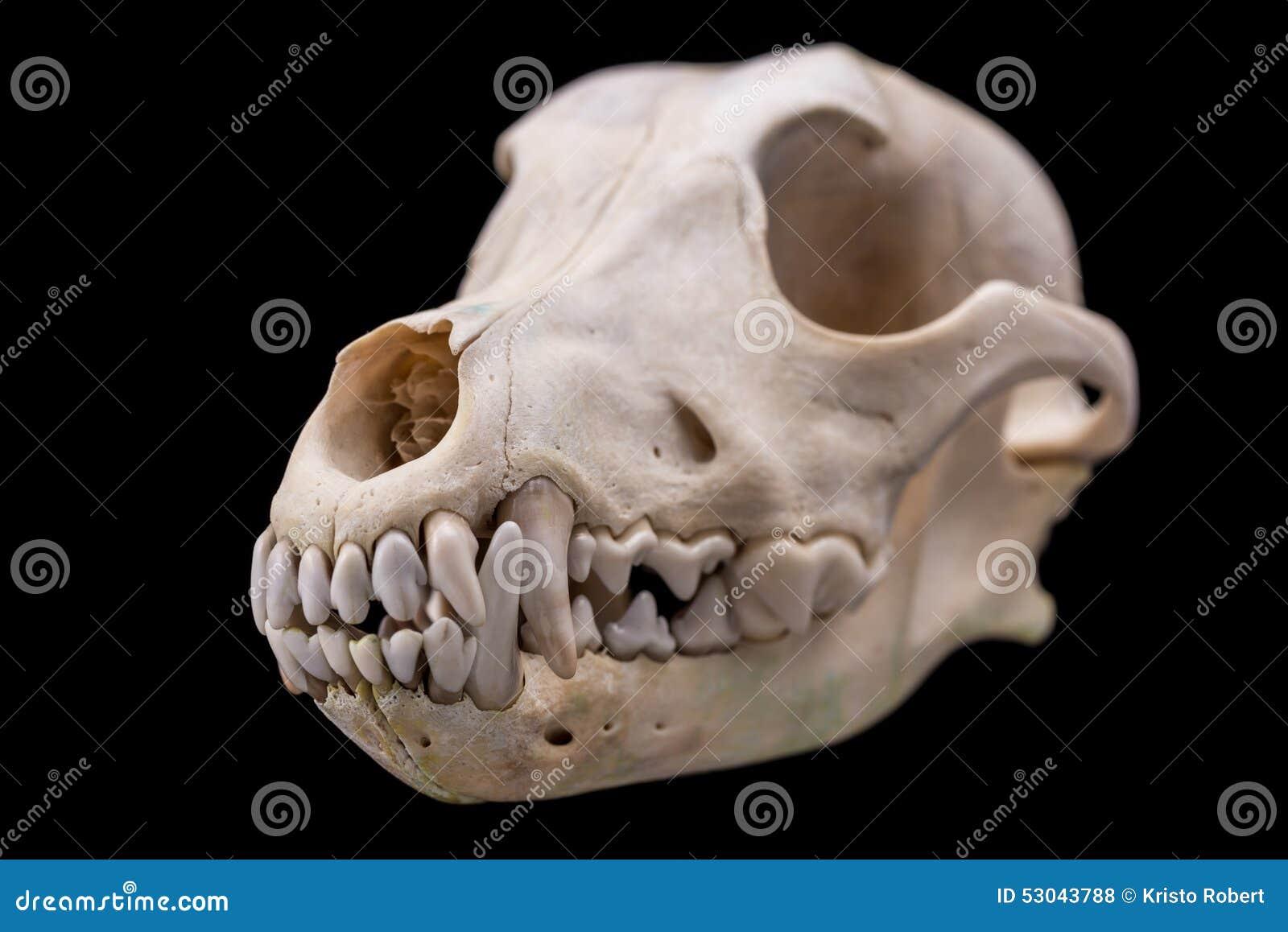 Animal skull. stock photo. Image of death, anatomy, body - 53043788