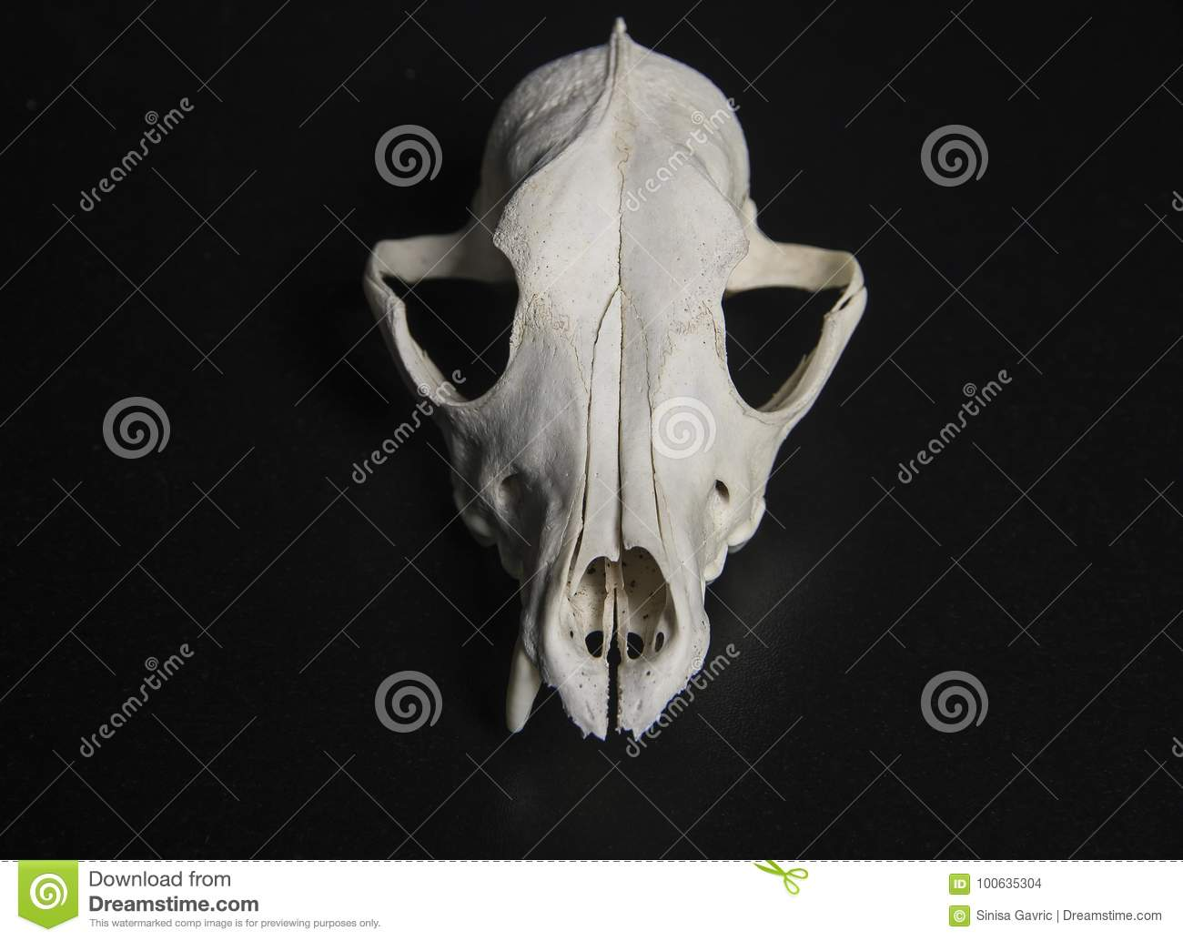 Animal Skull stock photo. Image of time, structure, anatomy - 100635304