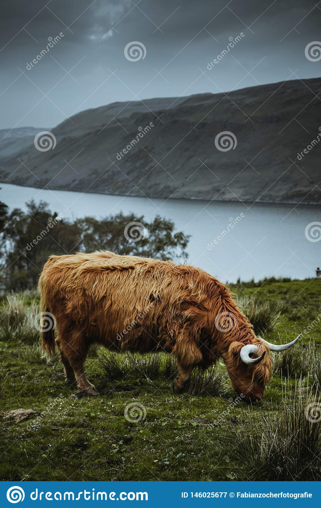 Scotish highland cattle in the nature
