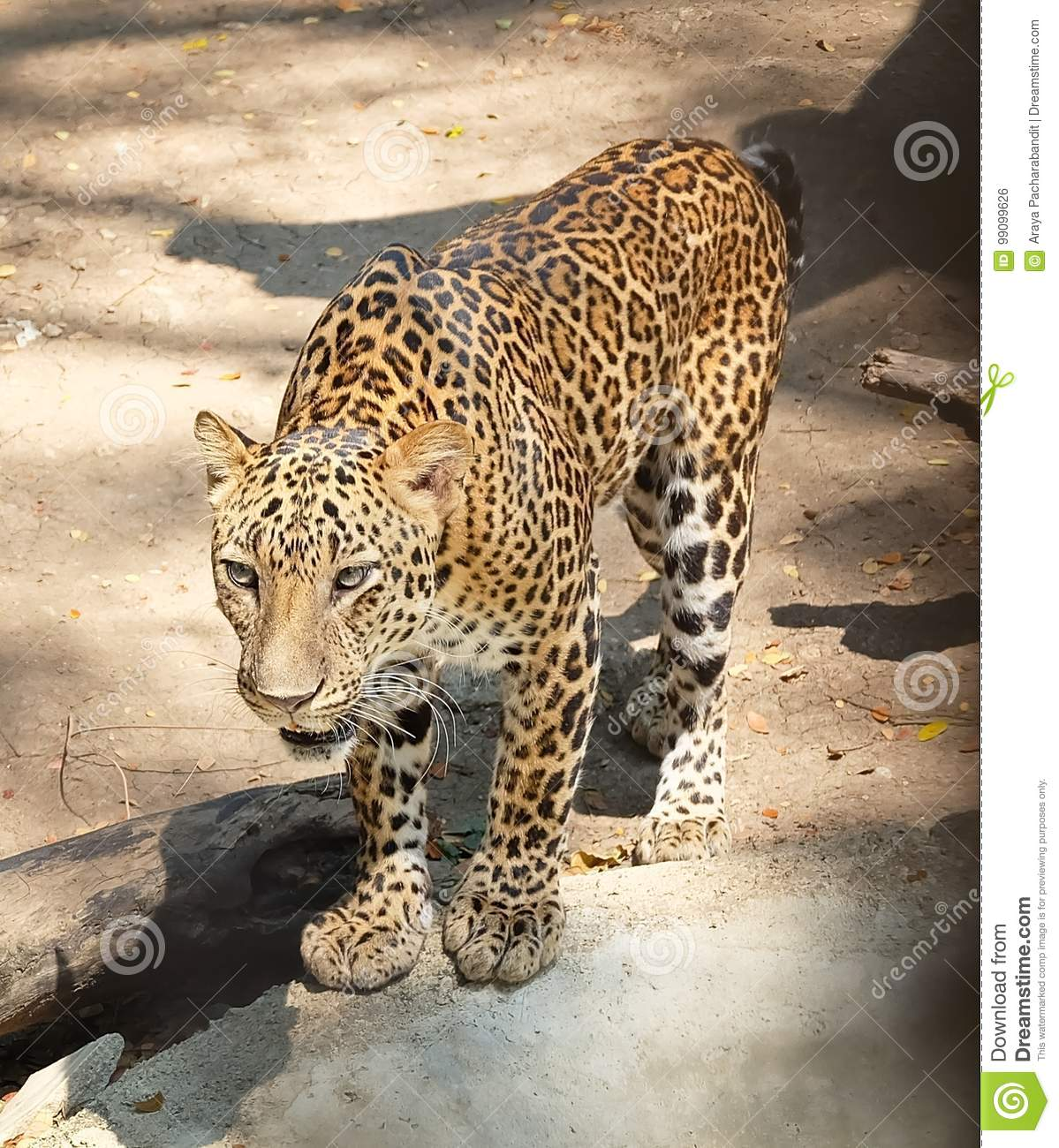 Panthera Onca Stock Images: Adult Jaguar Or Panthera Onca In Safari Stock Photo