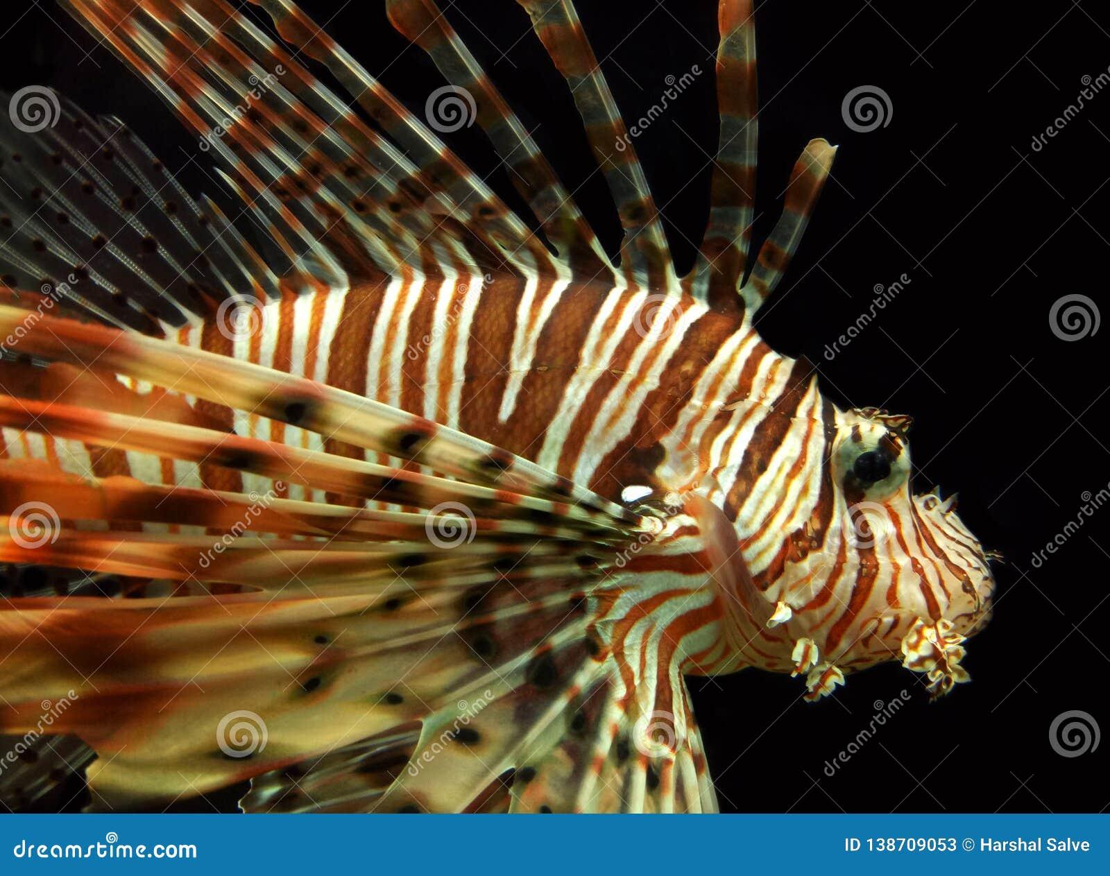 Animale acquatico del Lionfish rosso